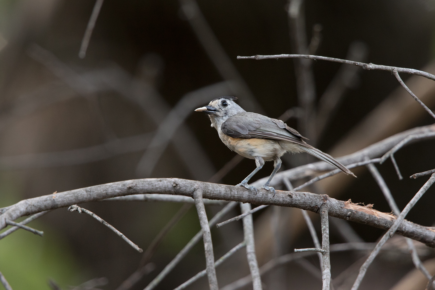 BLACK-CREASTED TITMOUSE - TAYLOR COUNTY TX JULY, 2016