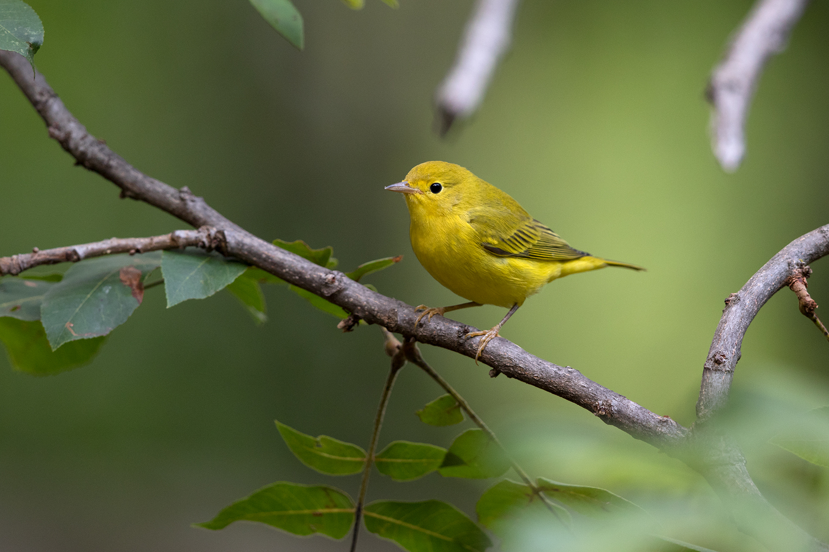 YELLOW WARBLER - TAYLOR COUNTY TX AUG, 2016
