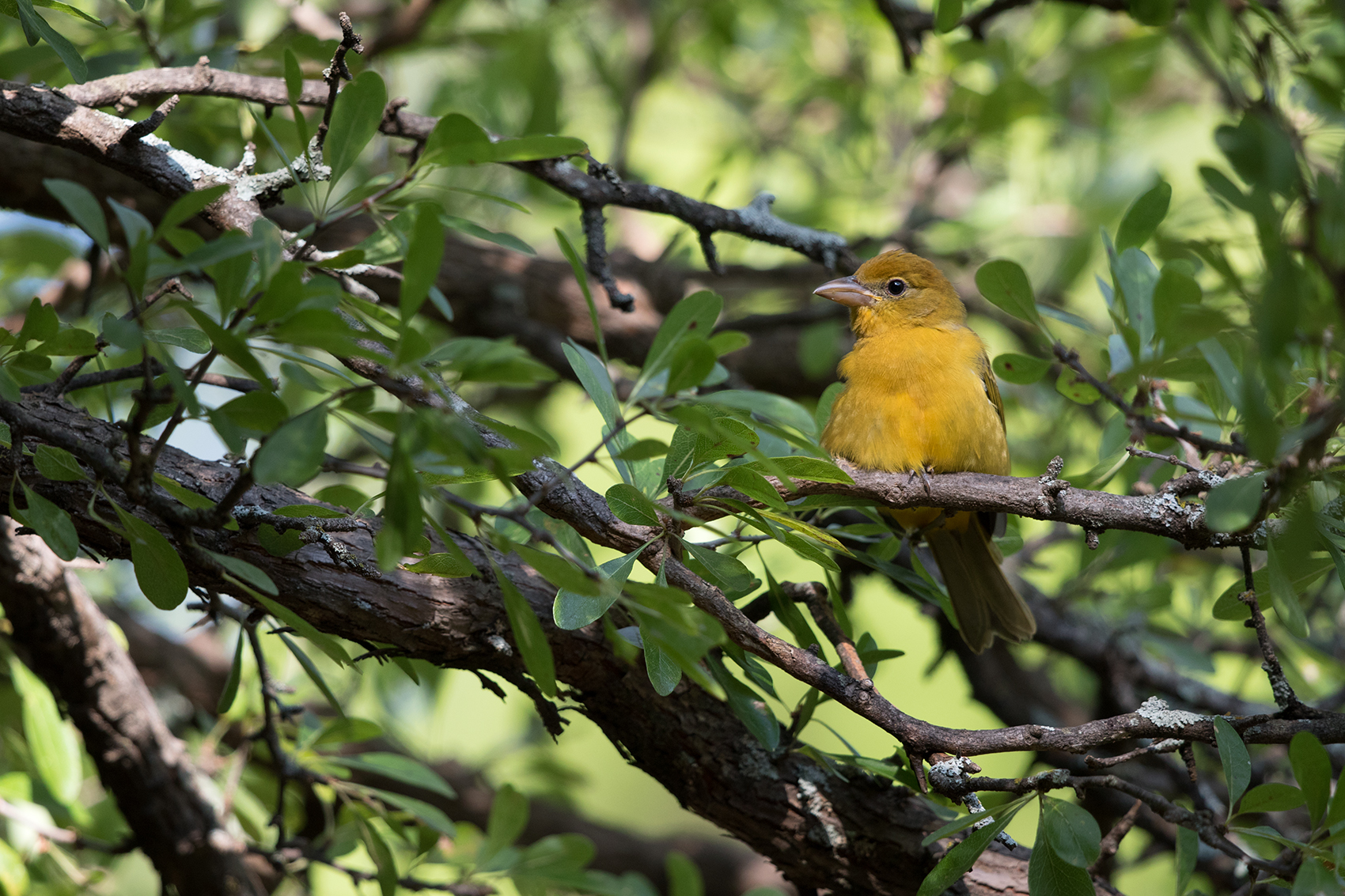 SUMMER TANAGER - TAYLOR COUNTY TX AUG, 2016