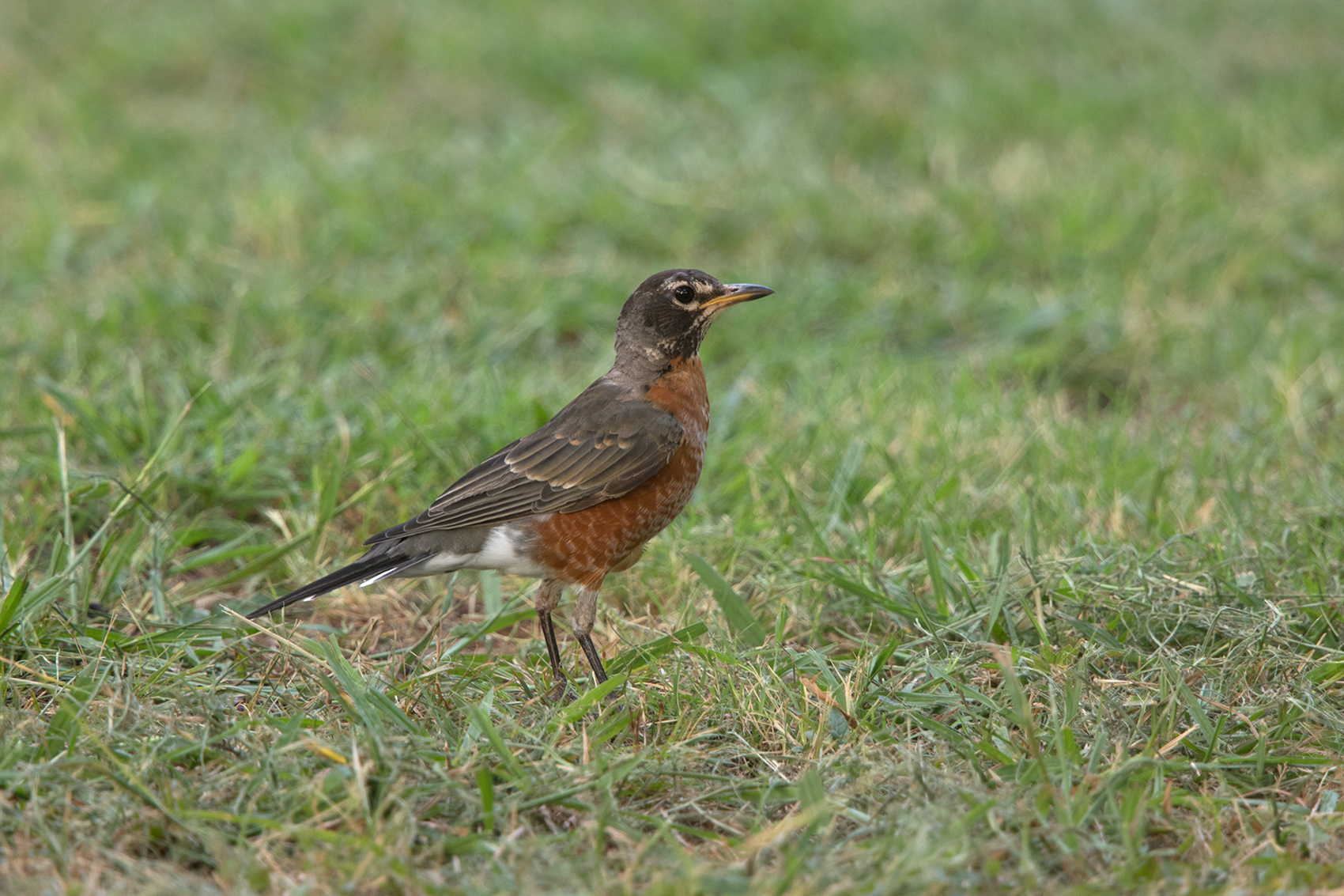 AMERICAN ROBIN - TAYLOR COUNTY TX AUG, 2016