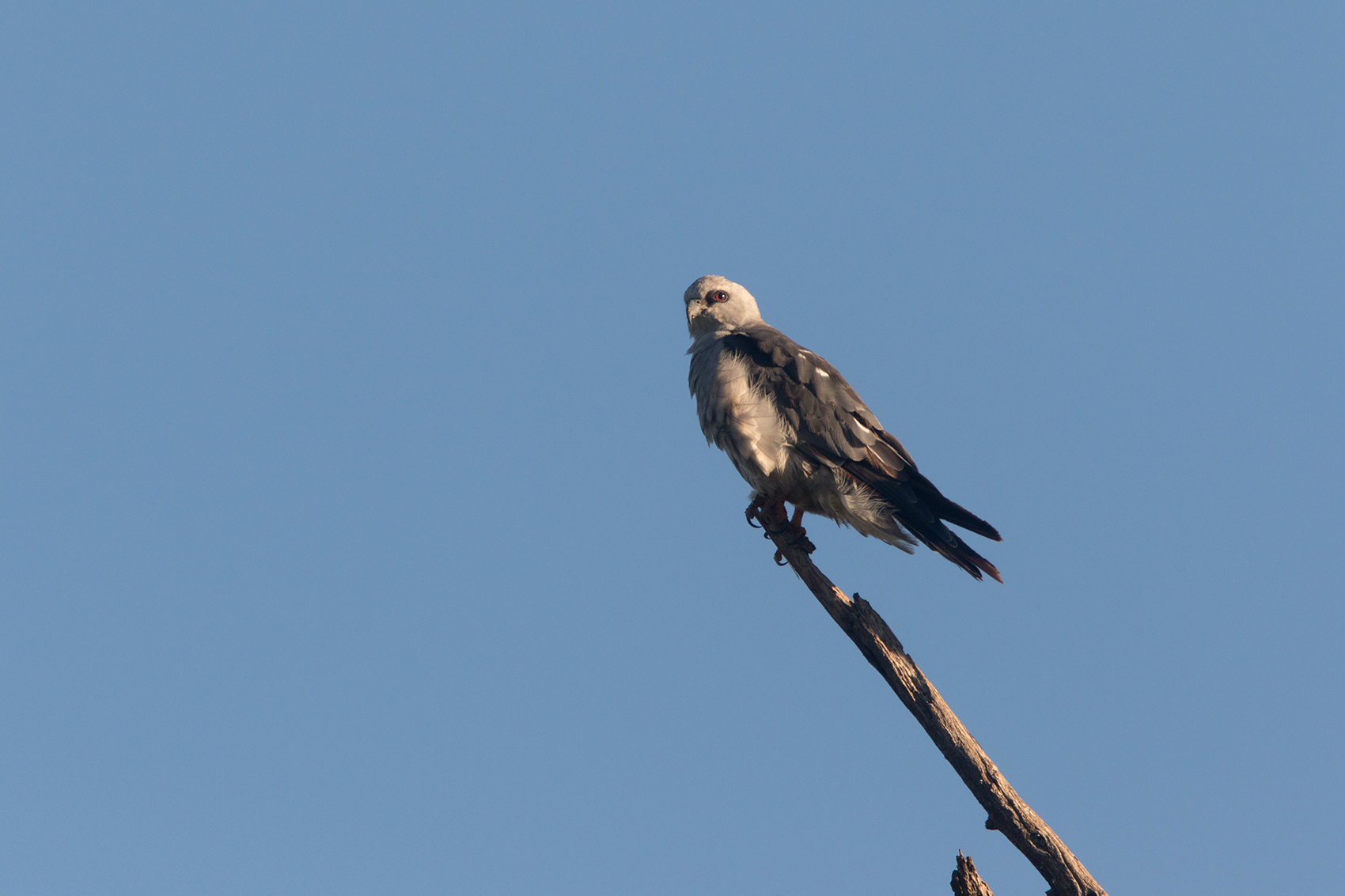 MISSISSIPPI KITE - TAYLOR COUNTY TX AUG, 2016