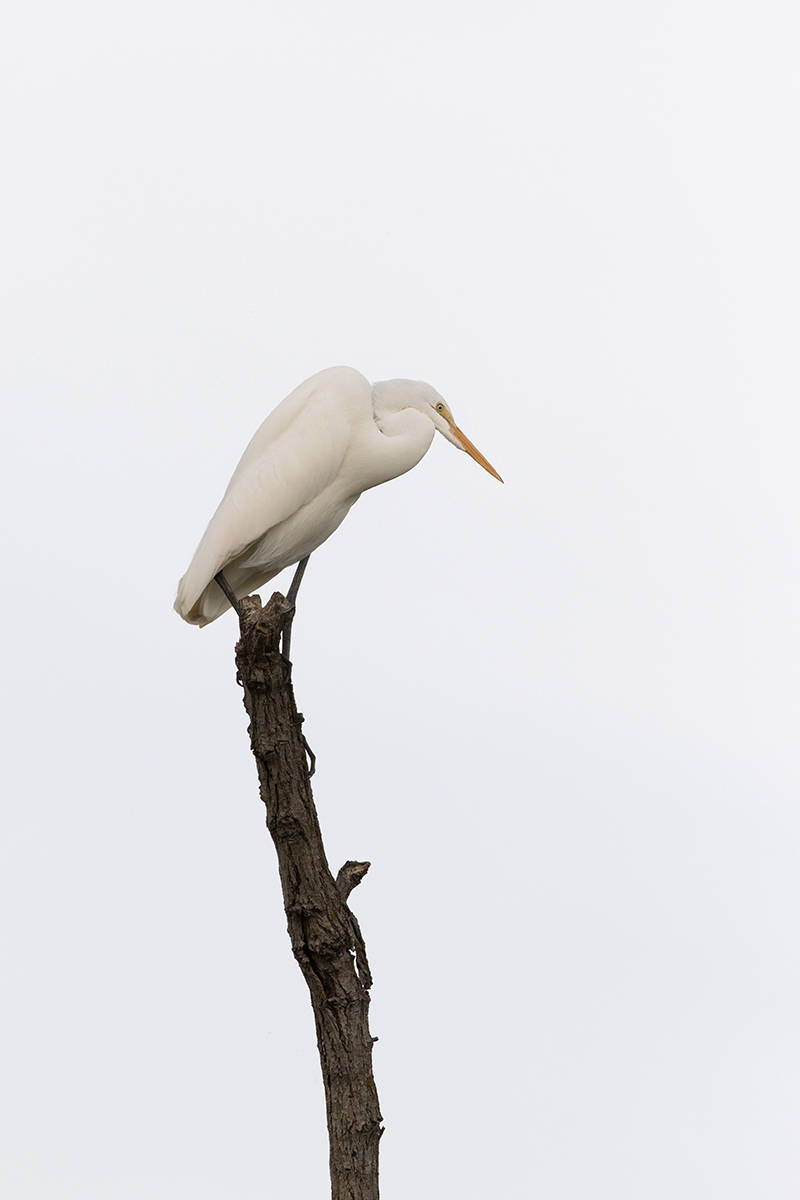 GREAT EGRET - GRAYSON COUNTY TX SEP, 2016