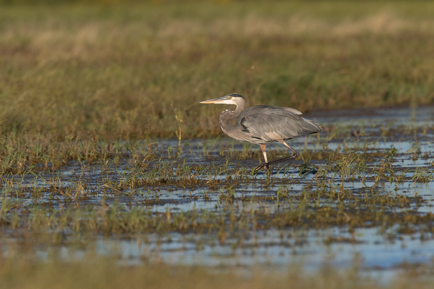GREAT BLUE HERON - TAYLOR COUNTY TX OCT, 2016