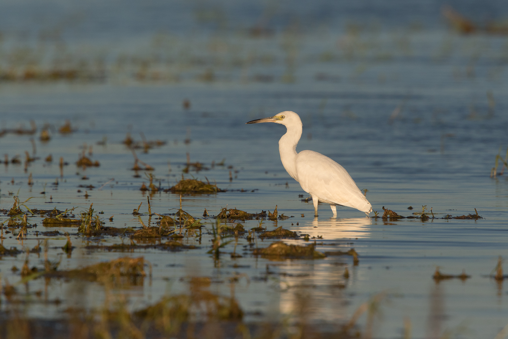 LITTLE BLUE HERON - TAYLOR COUNTY TX OCT, 2016