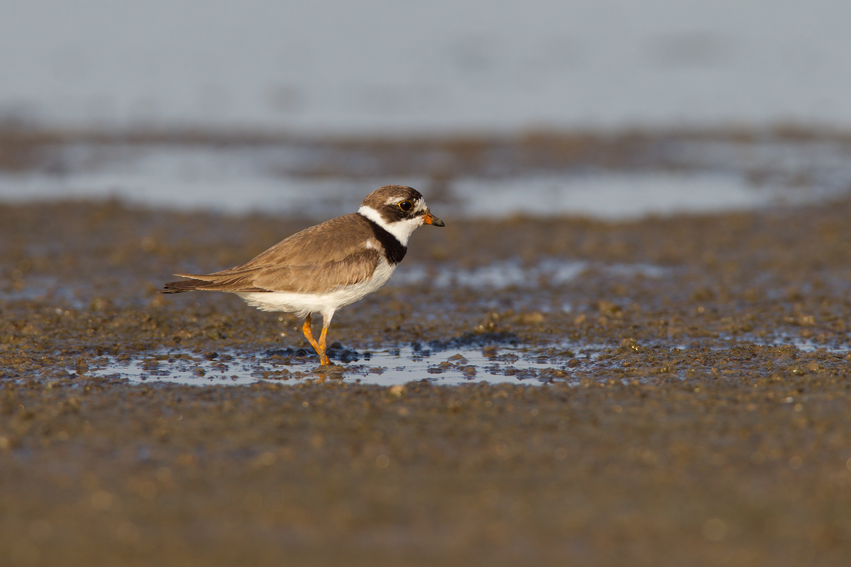 SEMIPALMATED PLOVER - GRAYSON COUNTY TX