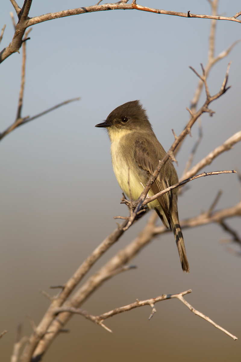 EASTERN PHOEBE - GRAYSON COUNTY TX