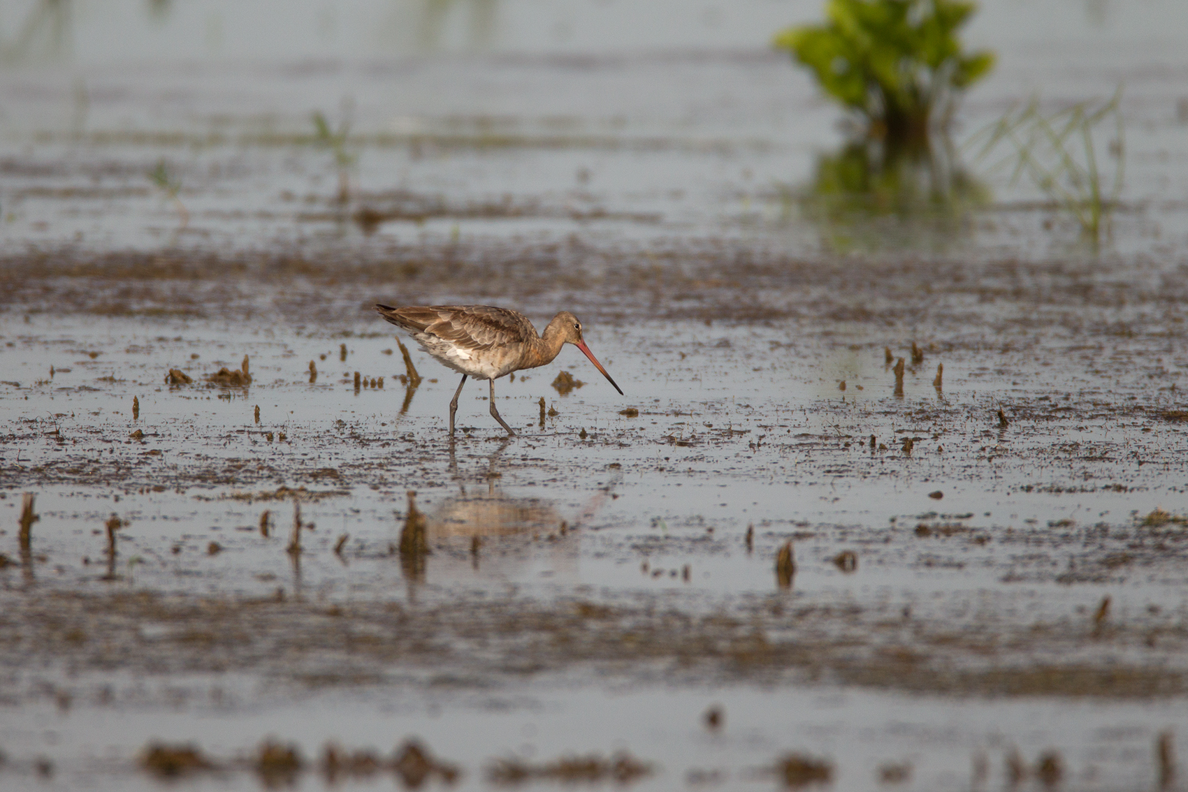 BLACK-TAILED GODWIT - BRAZORIA COUNTY TX