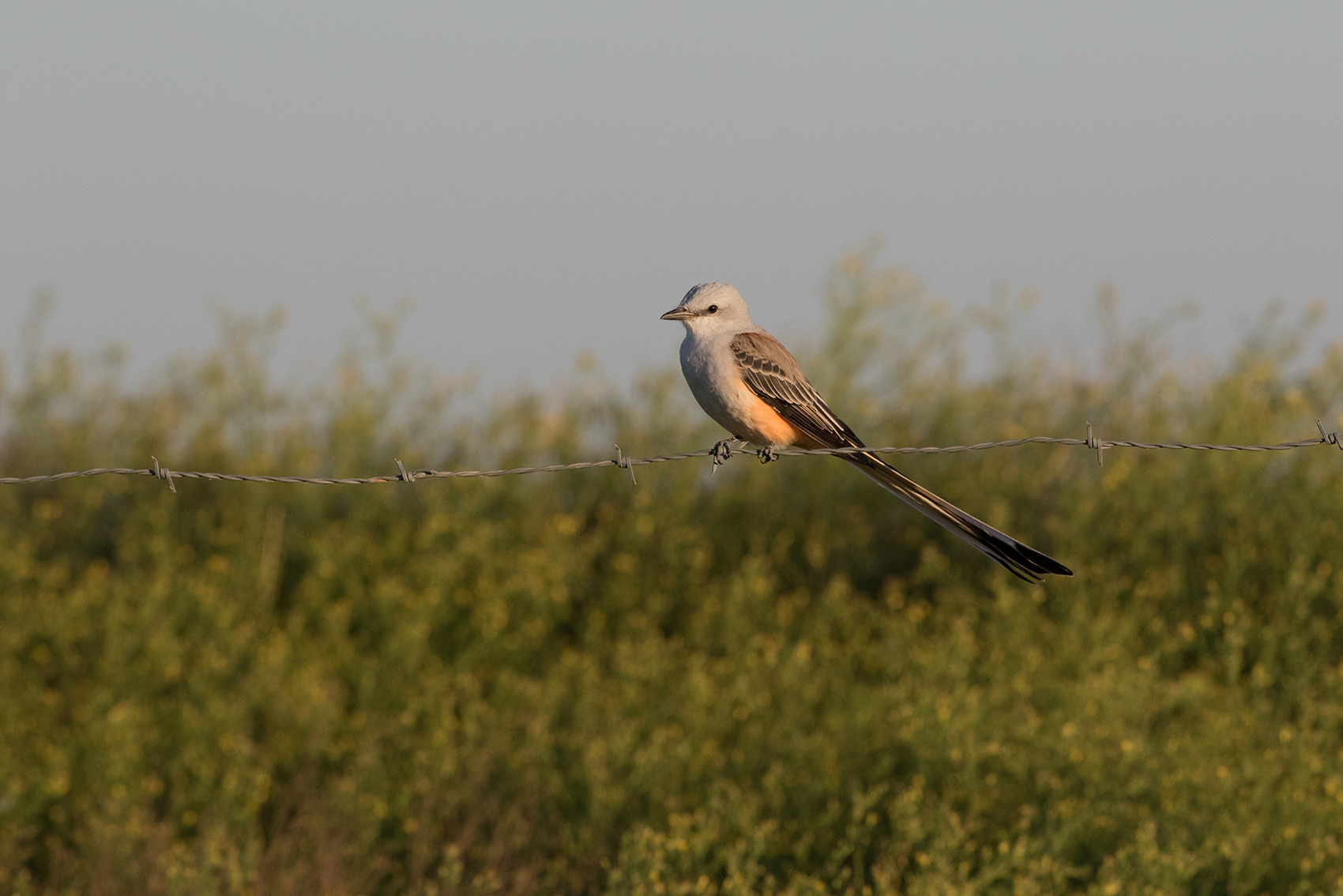 SCISSOR-TAILED FLYCATCHER - TAYLOR COUNTY OCT, 2016
