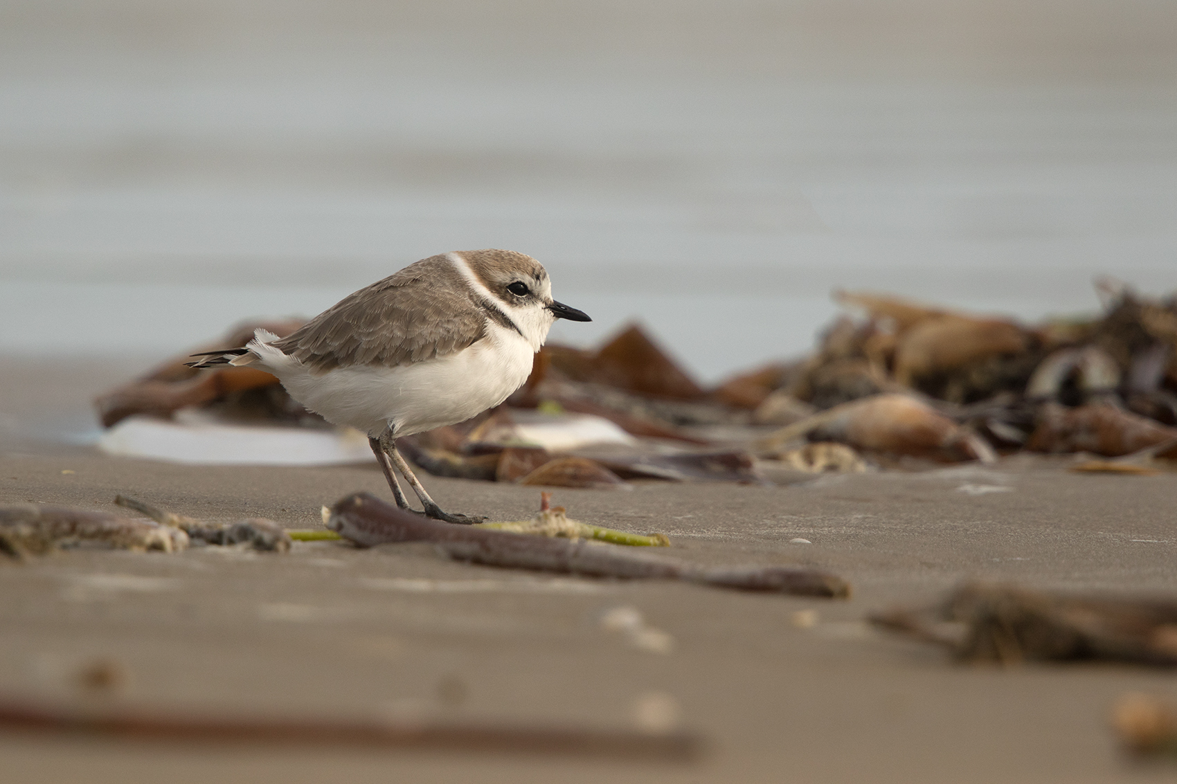 SNOWY PLOVER - GALVESTON COUNTY TX NOV. 2016