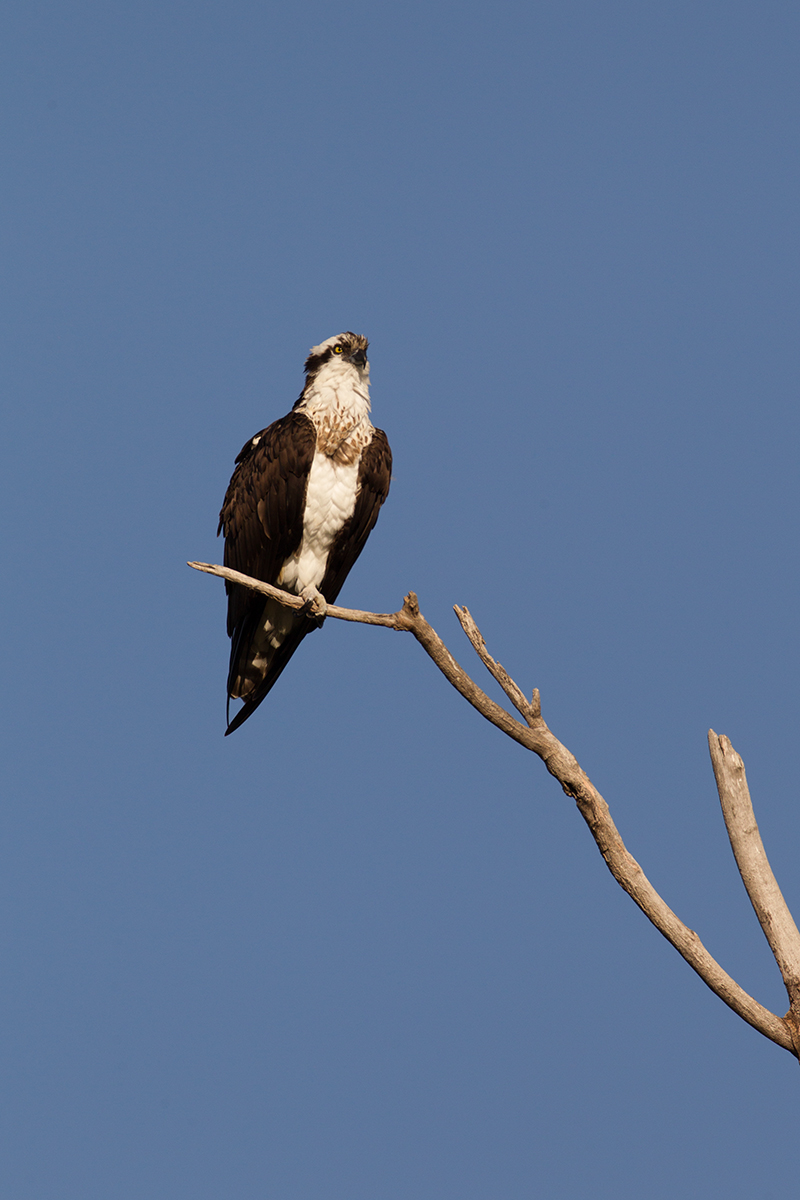 OSPREY - ROCKWALL COUNTY TX