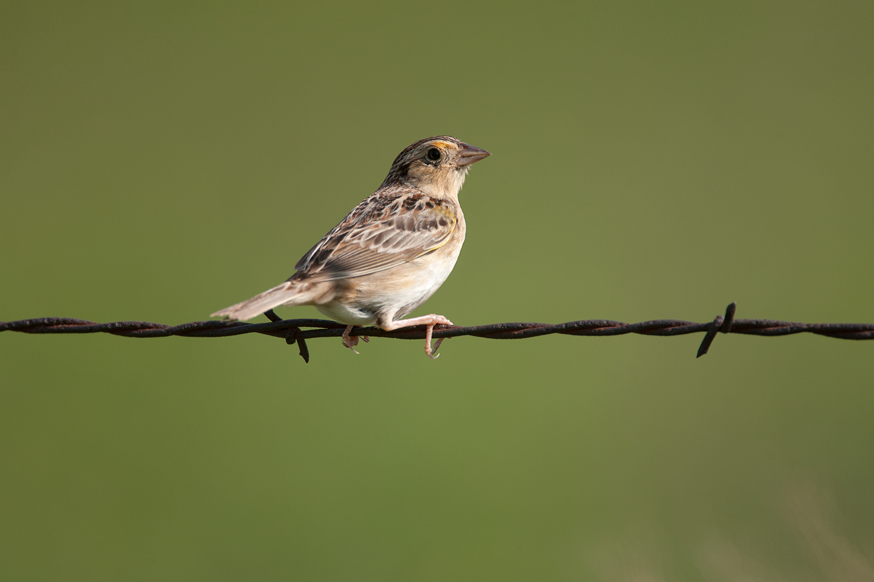 GRASSHOPPER SPARROW - DENTON COUNTY TX