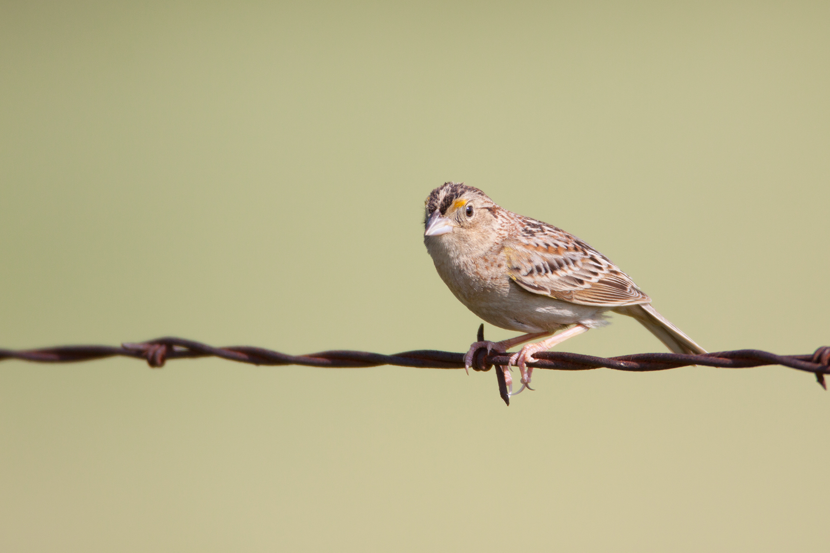 GRASSHOPPER SPARROW - GRAYSON COUNTY TX