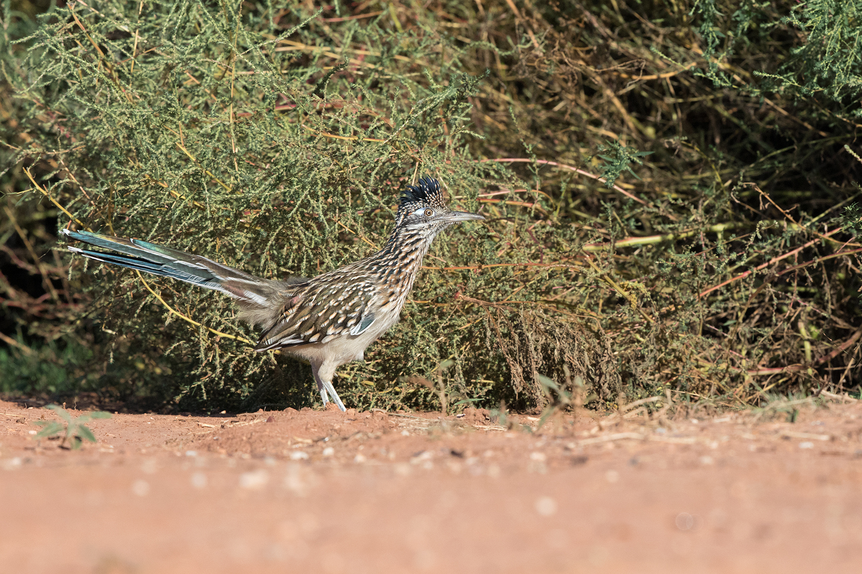 GREATER ROADRUNNER - TAYLOR COUNTY TX OCT. 2016