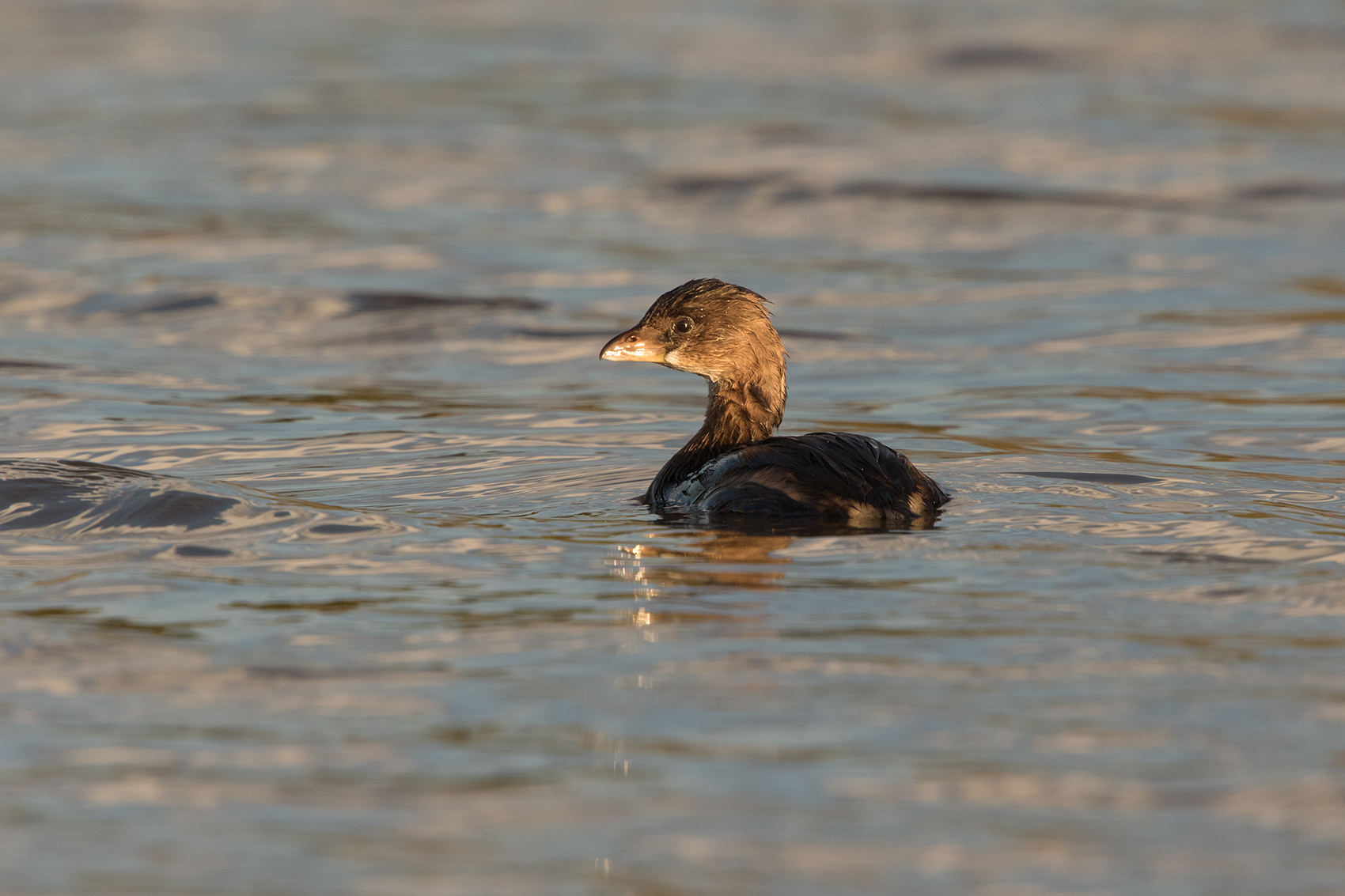 PIED-BILLED GREBE - TAYLOR COUNTY TX OCT. 2016