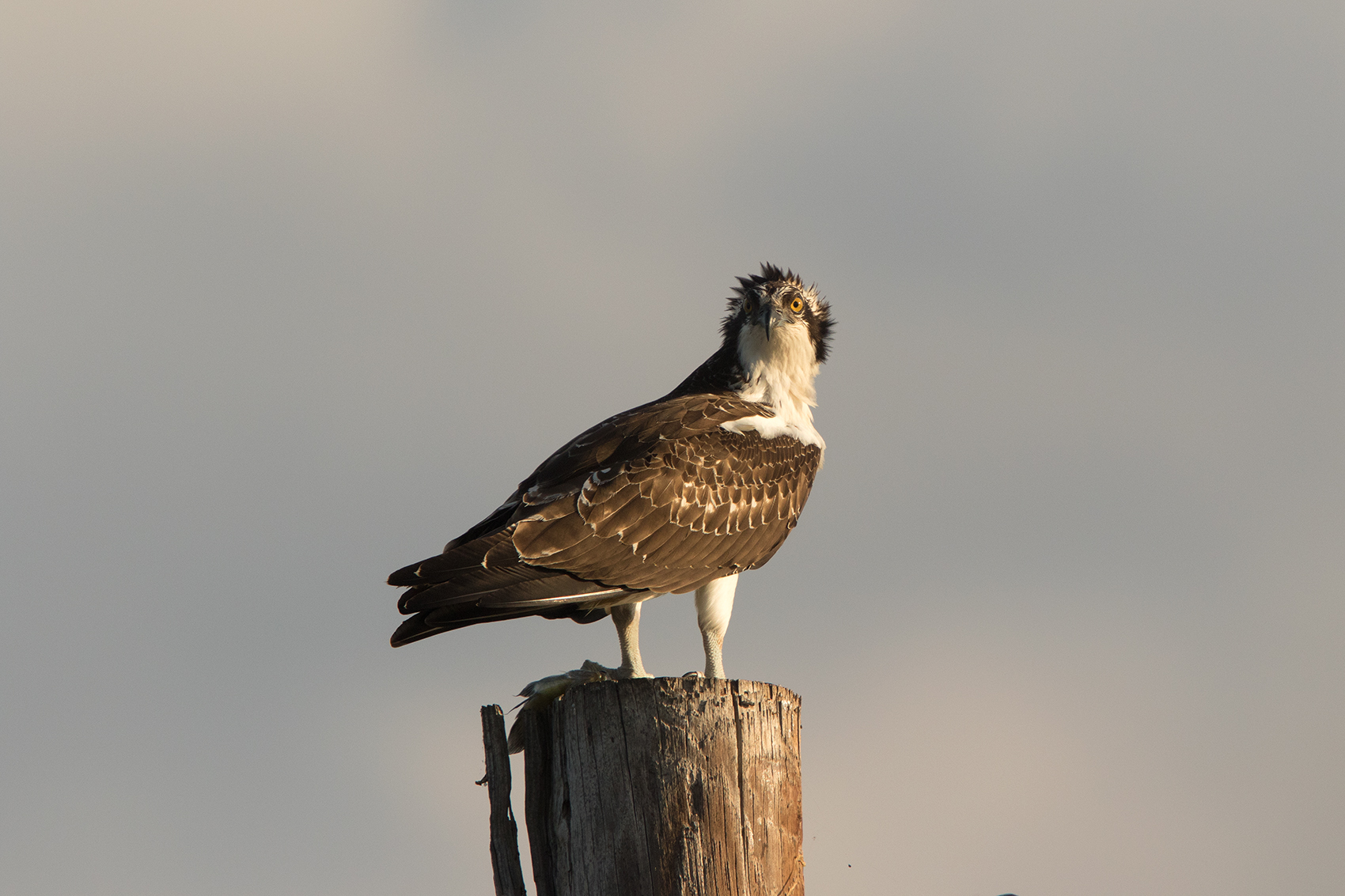 OSPREY - TAYLOR COUNTY TX OCT. 2016