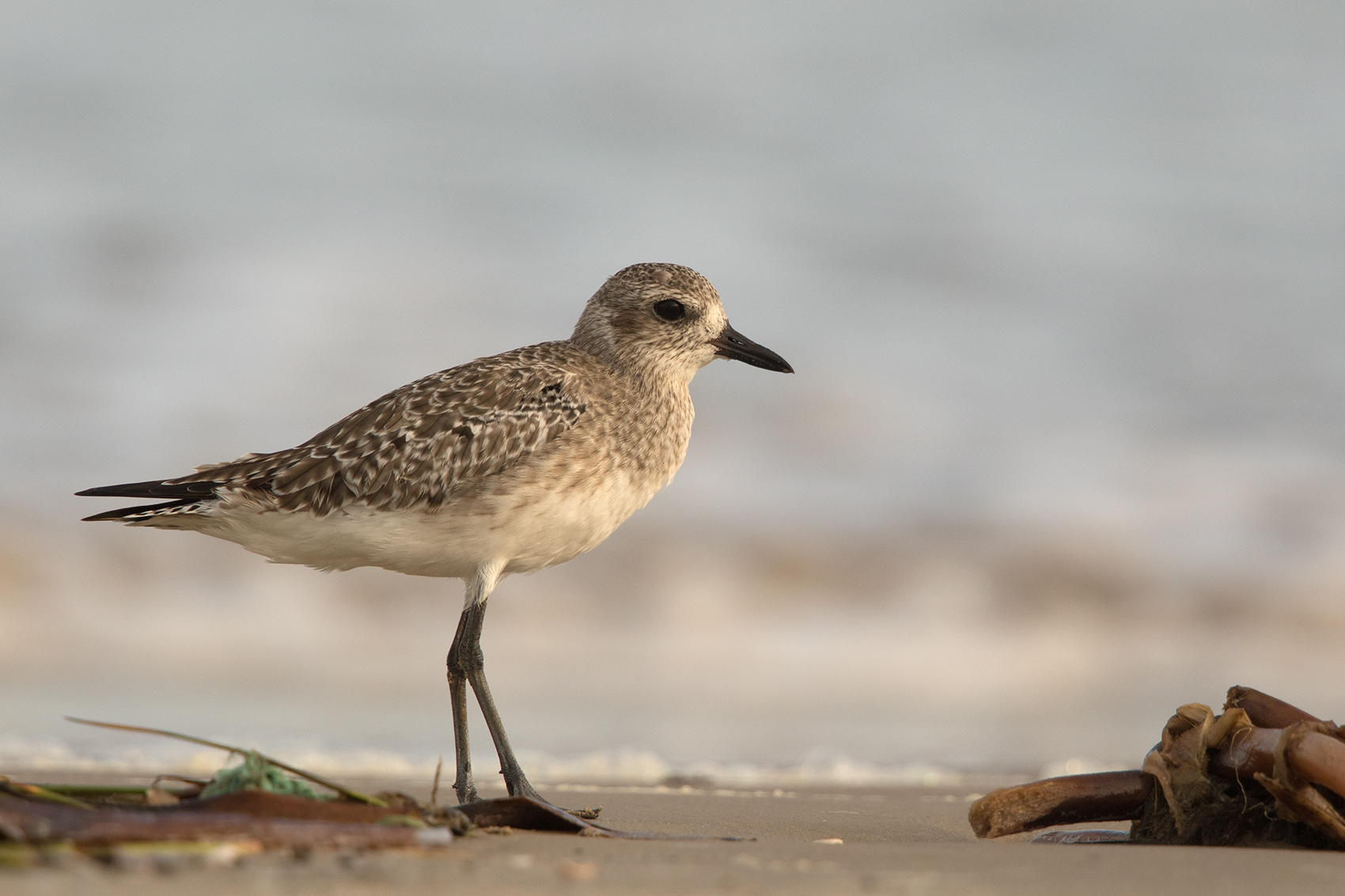 BLACK-BELLIED PLOVER - GALVESTON COUNTY TX NOV. 2016