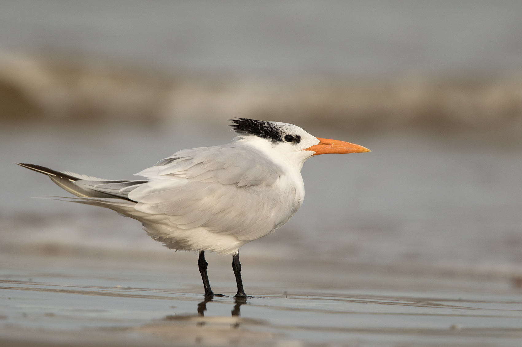 ROYAL TERN - GALVESTON COUNTY TX NOV. 2016