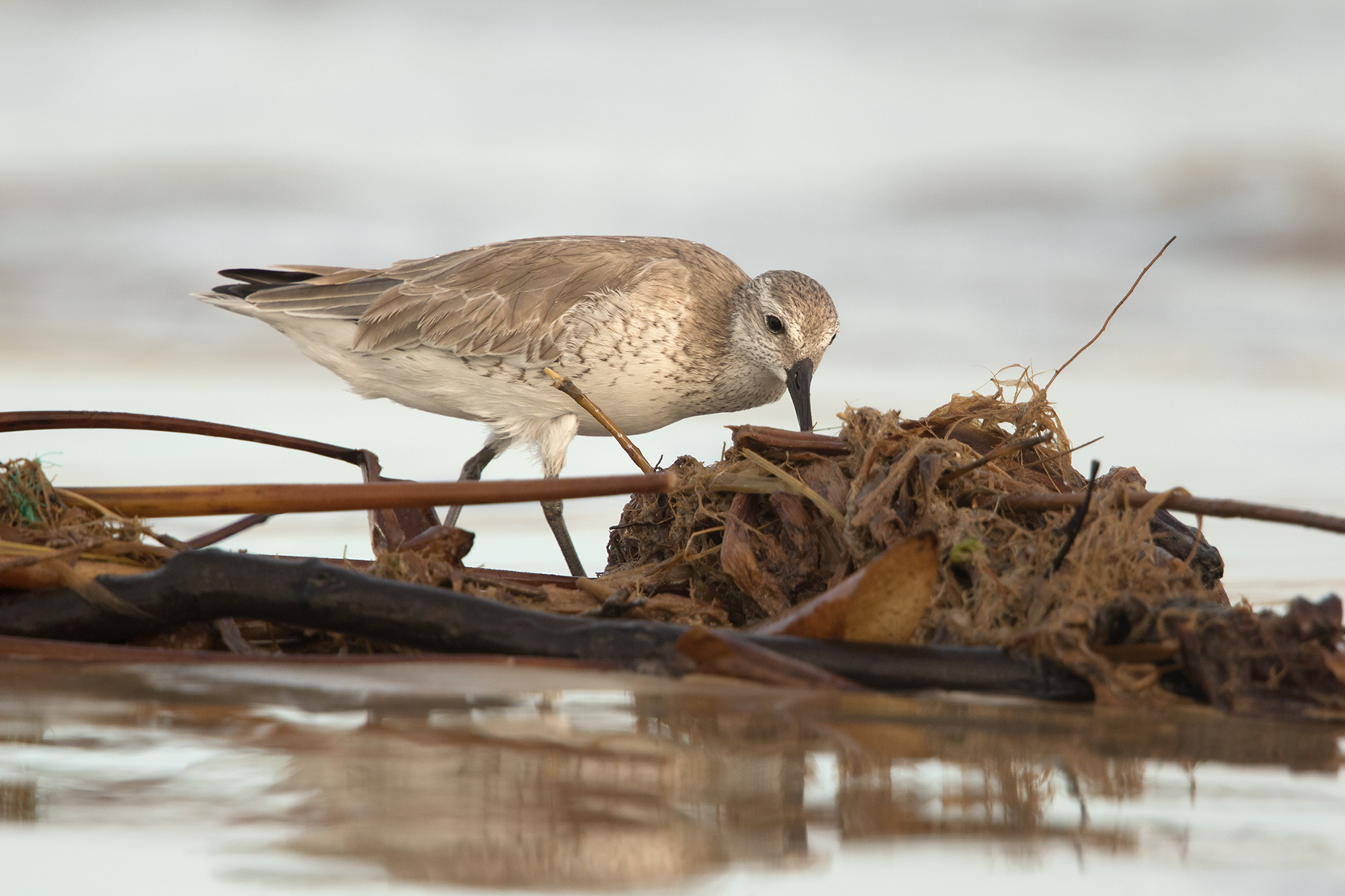 RED KNOT - GALVESTON COUNTY TX NOV. 2016