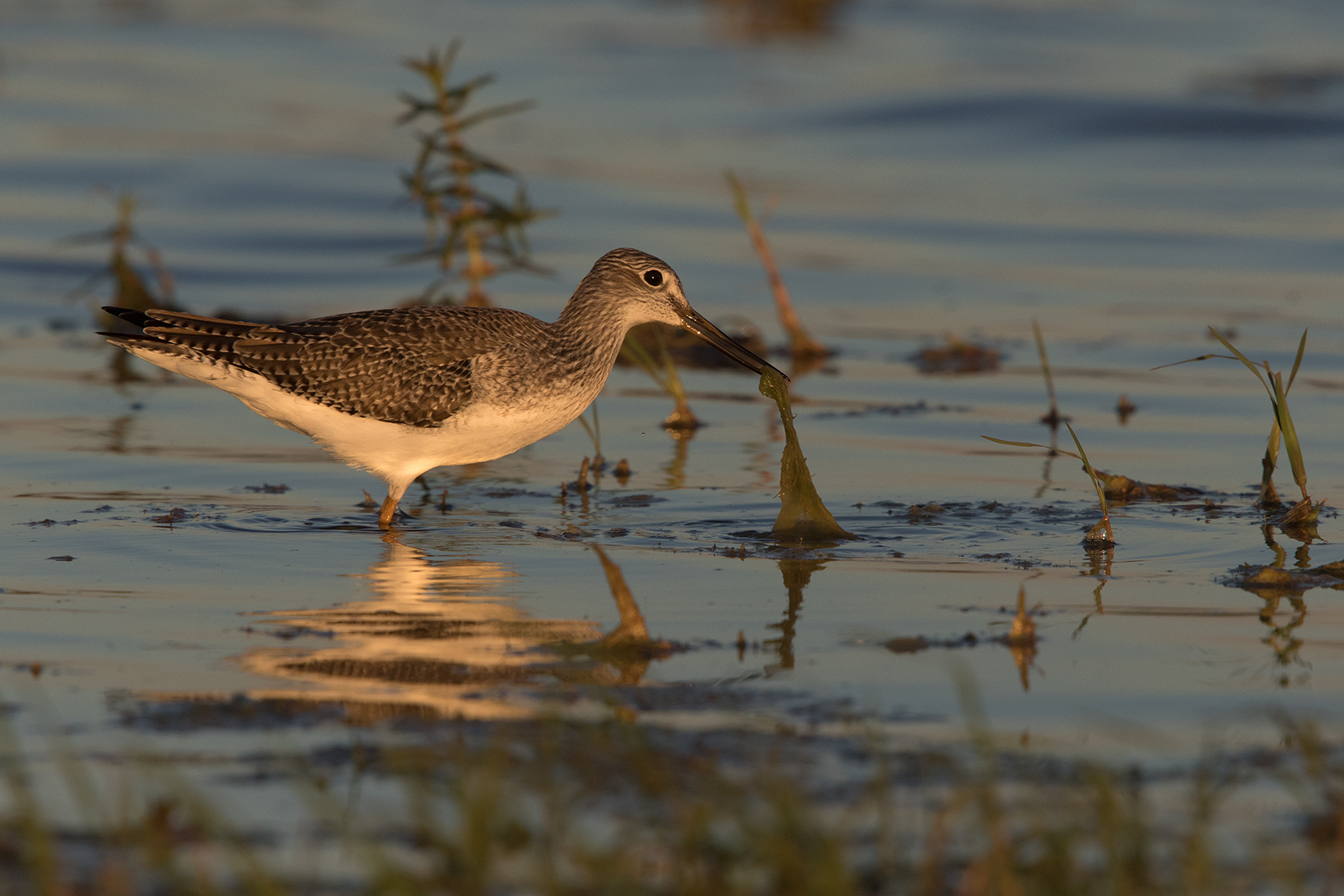 GREATER YELLOWLEGS - TAYLOR COUNTY TX OCT. 2016