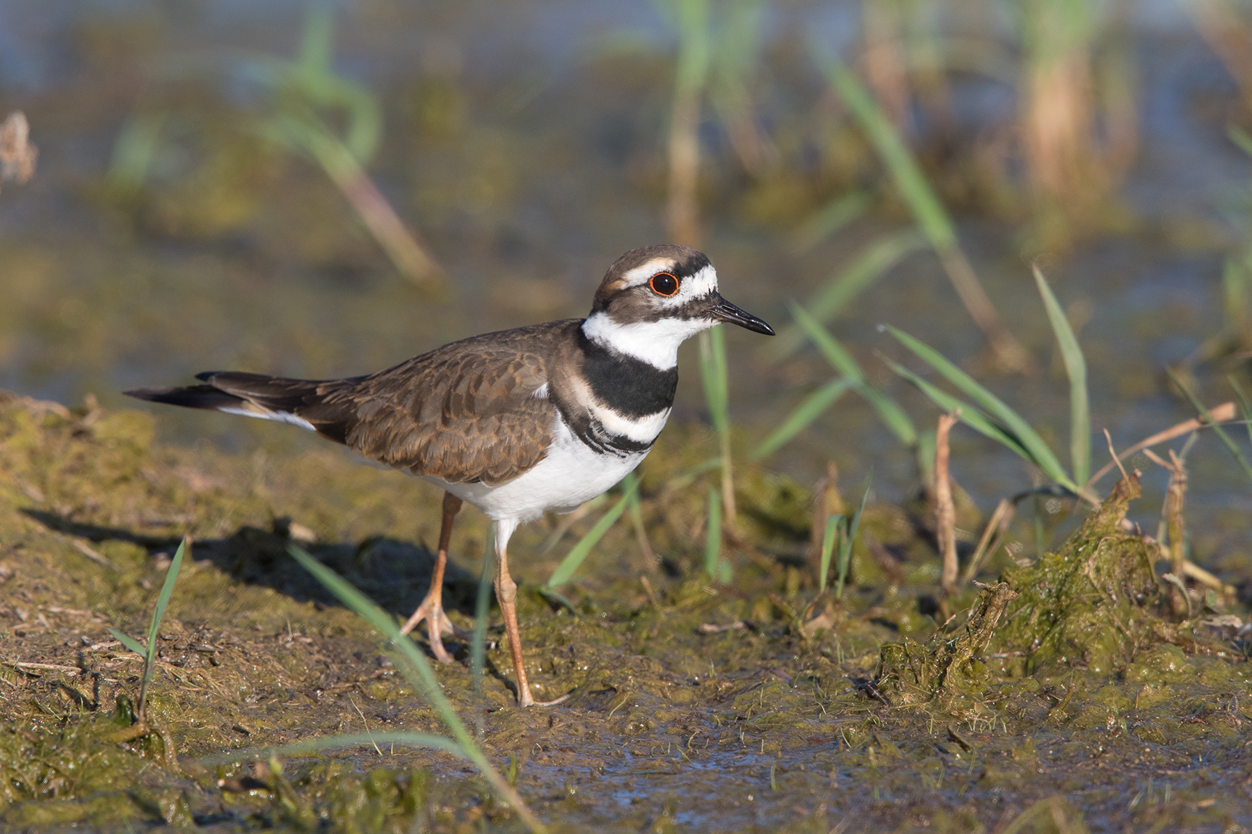 KILLDEER - TAYLOR COUNTY TX OCT. 2016