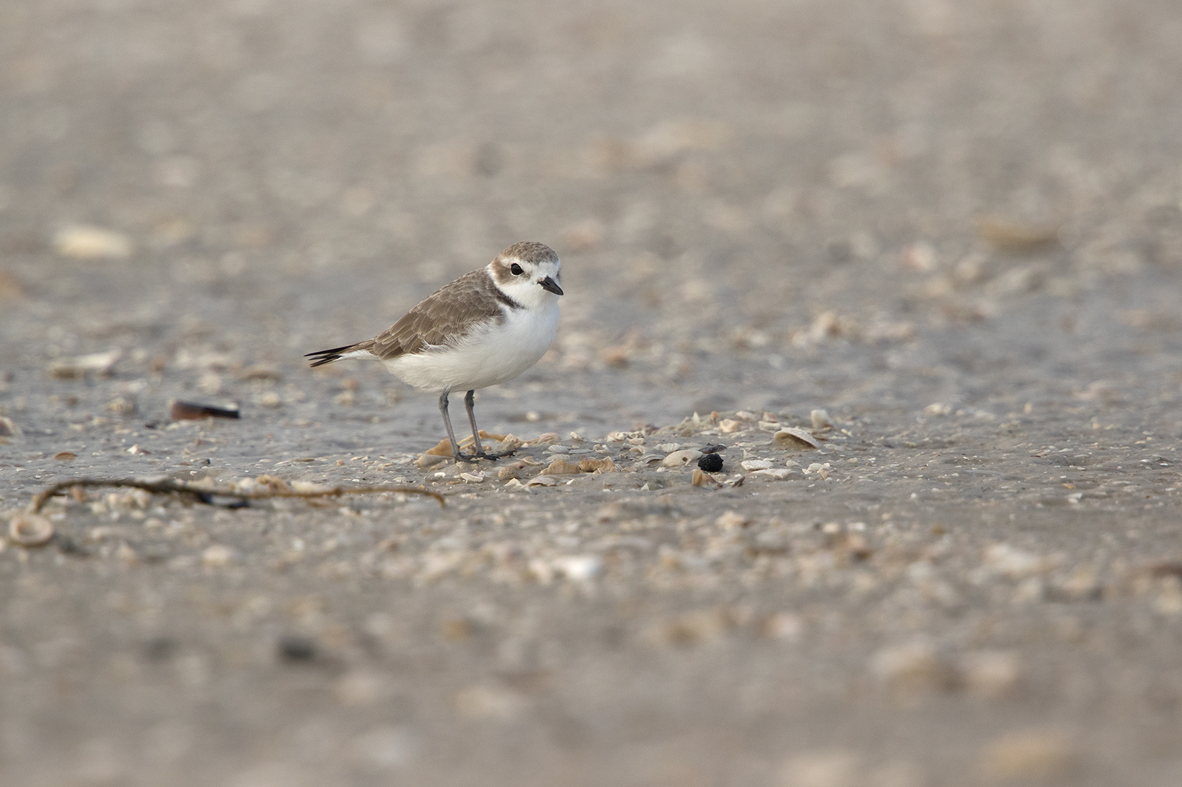 SNOWY PLOVER - ARANSAS COUNTY TX OCT. 2016