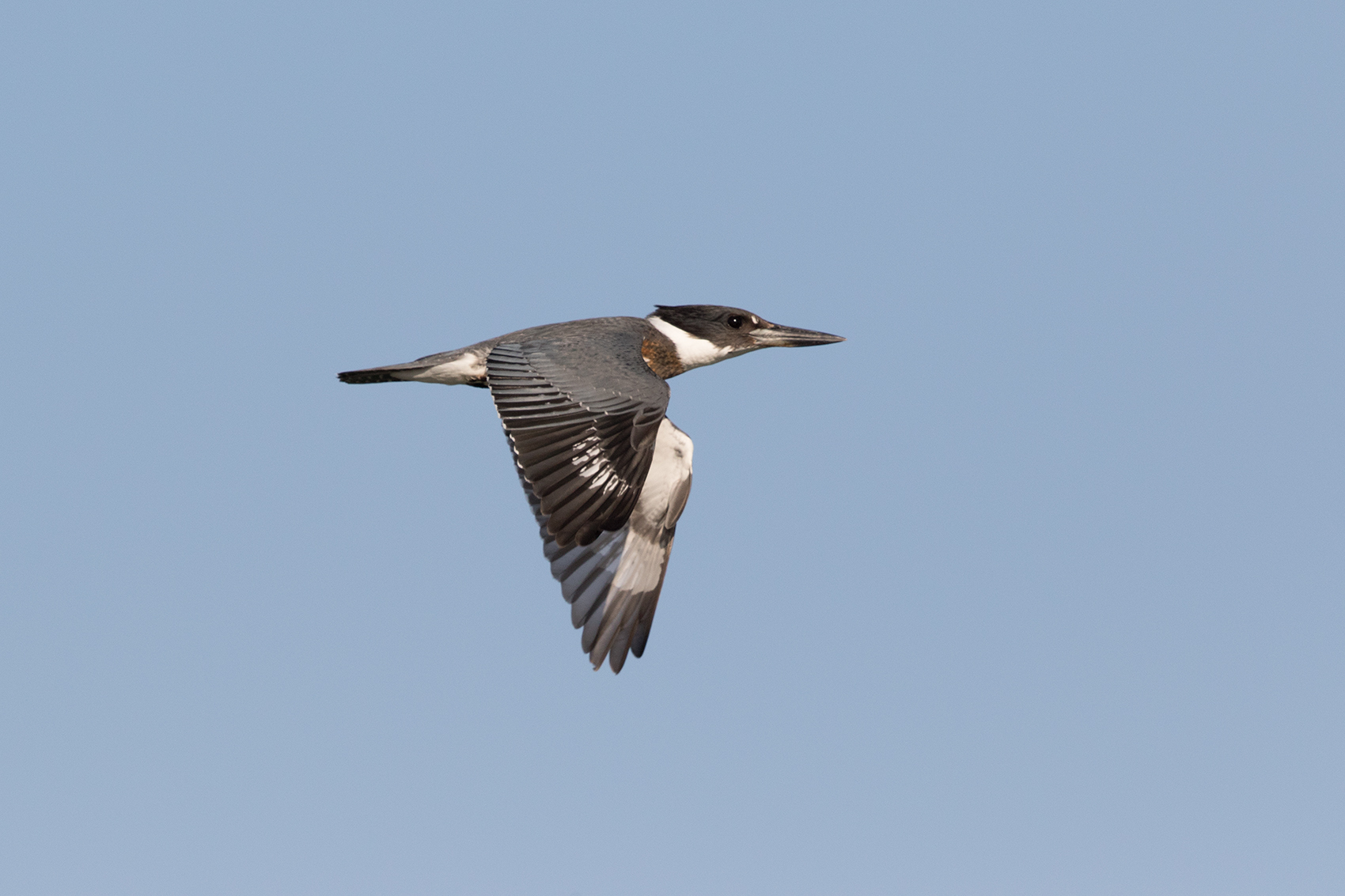 BELTED KINGFISHER - ARANSAS COUNTY TX OCT. 2016