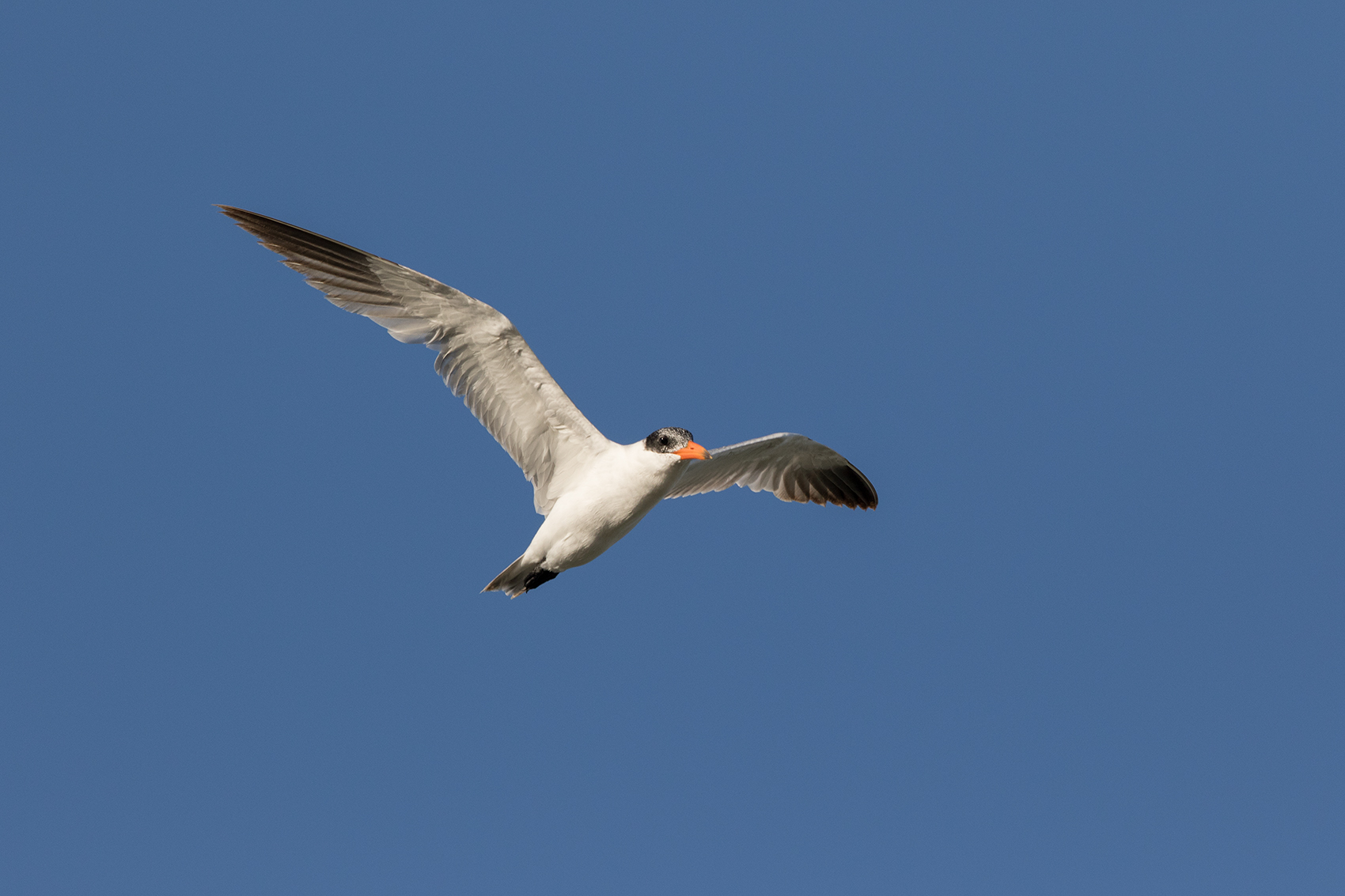 CASPIAN TERN - ARANSAS COUNTY TX OCT. 2016