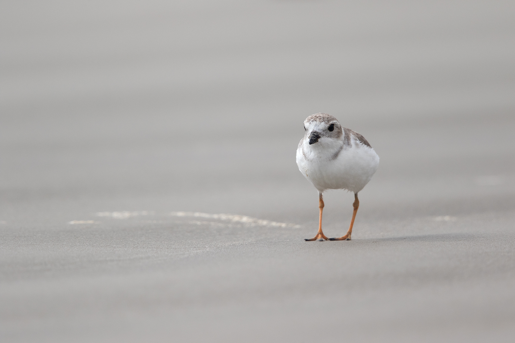 PIPING PLOVER - ARANSAS COUNTY TX OCT. 2016