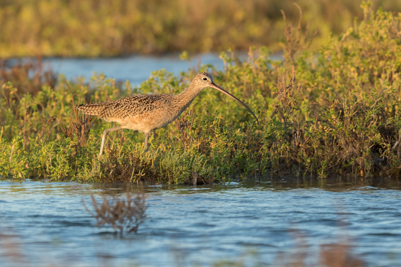 LONG-BILLED CURLEW - ARANSAS COUNTY TX OCT. 2016
