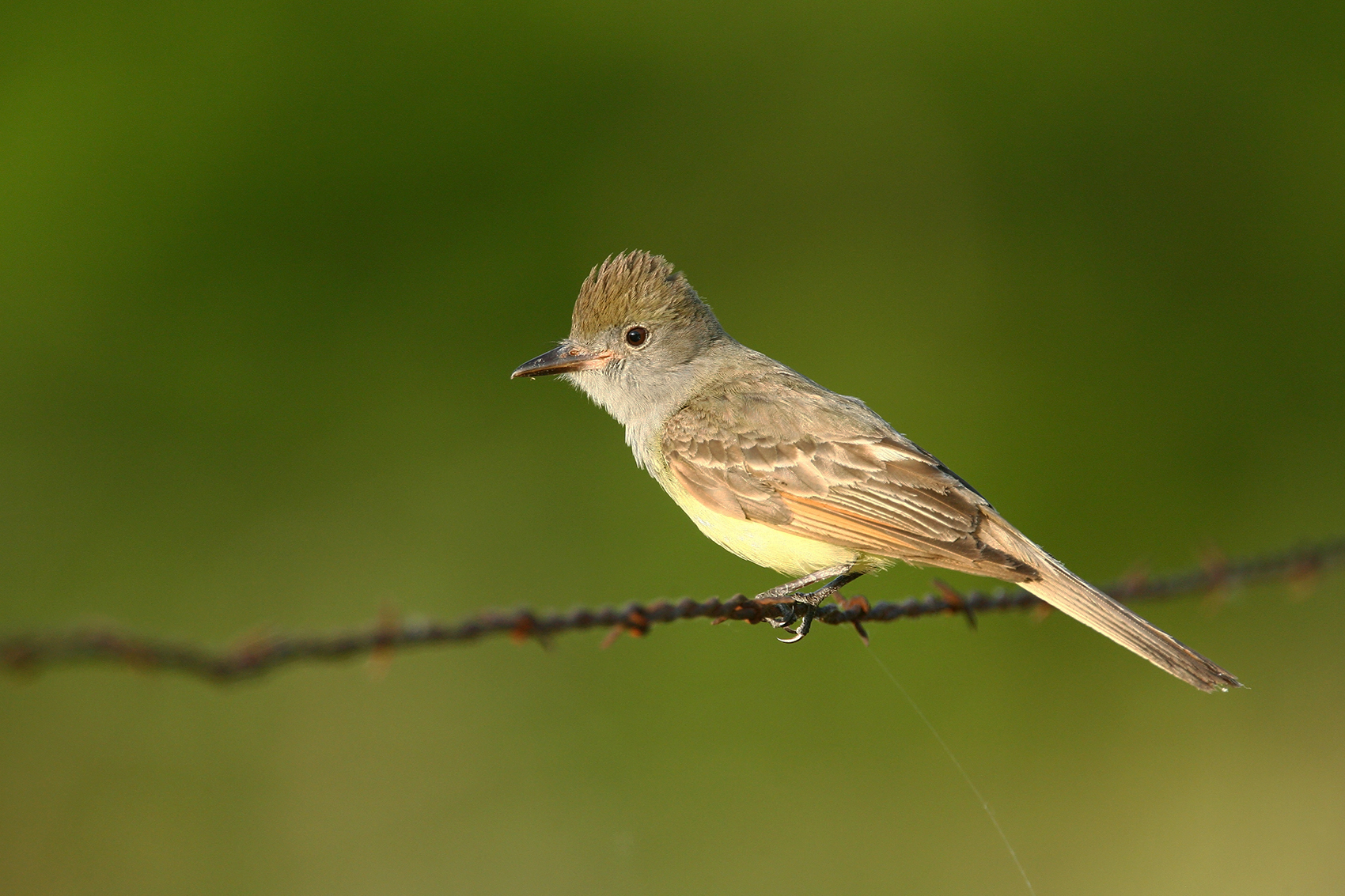 GREAT CRESTED FLYCATCHER - GRAYSON COUNTY TX