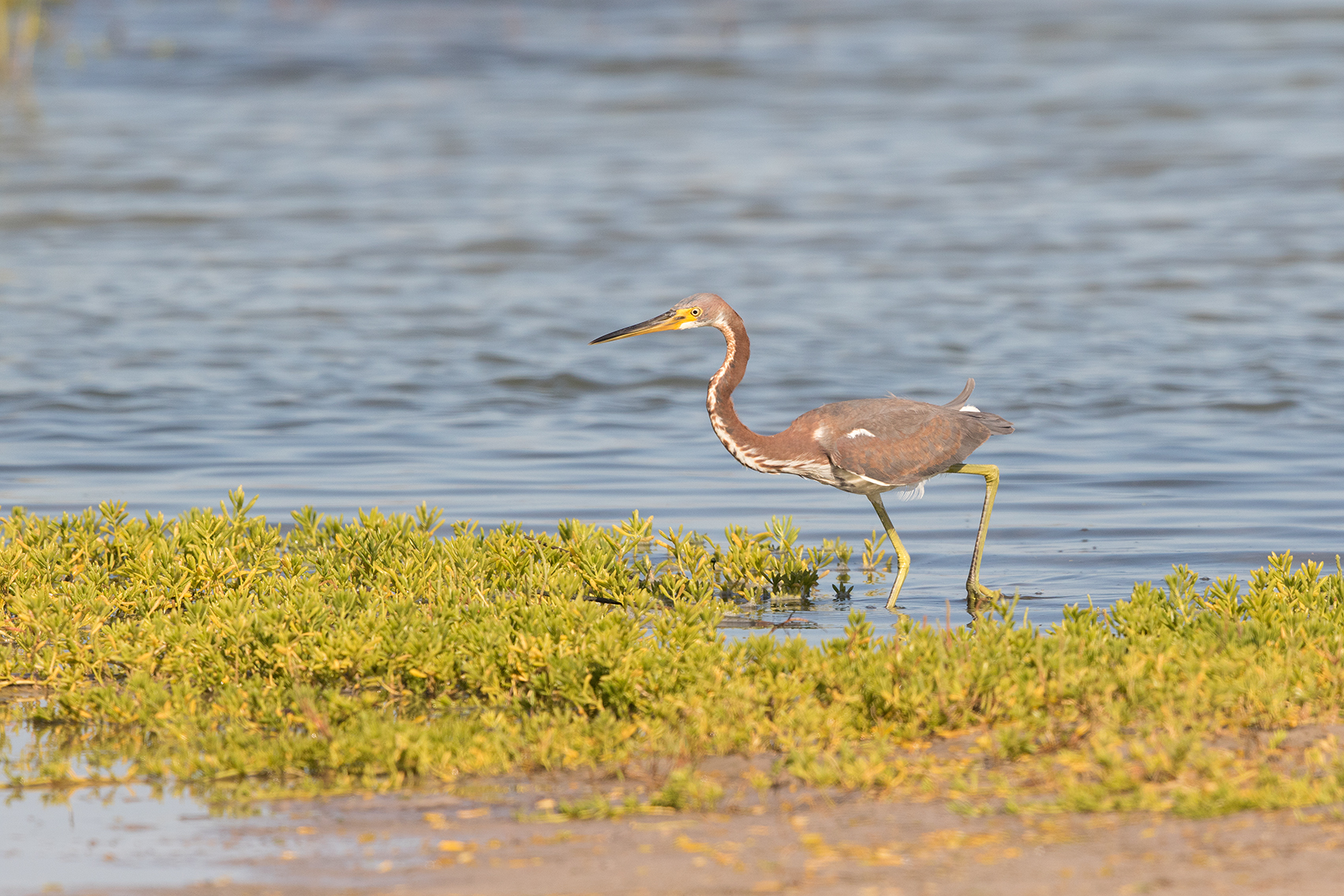TRICOLORED HERON - ARANSAS COUNTY TX OCT. 2016