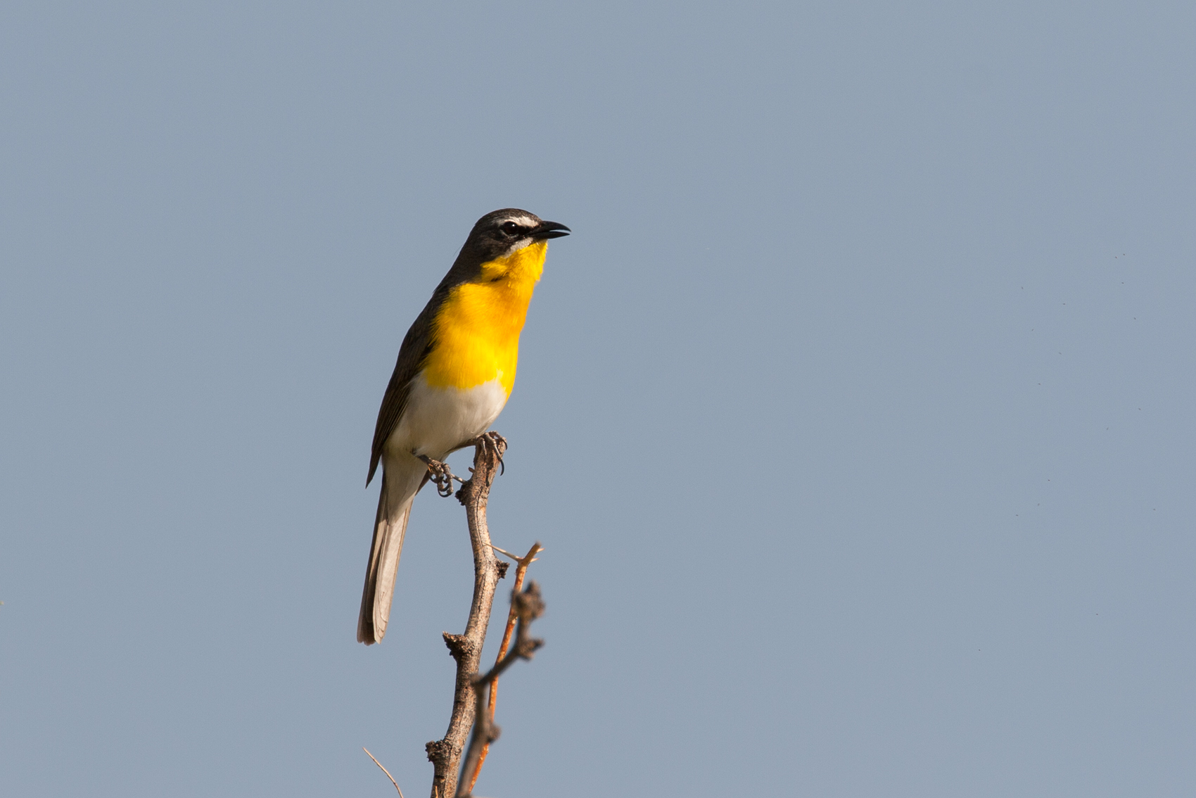 YELLOW-BREASTED CHAT - BREWSTER COUNTY TX