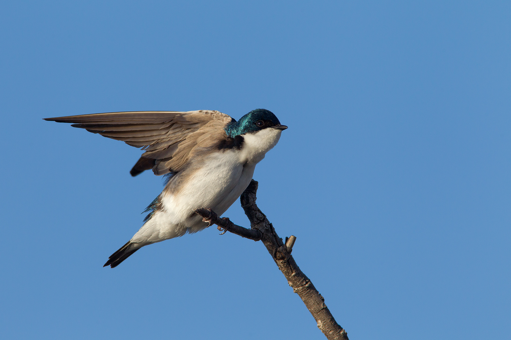 TREE SWALLOW - GRAYSON COUNTY TX