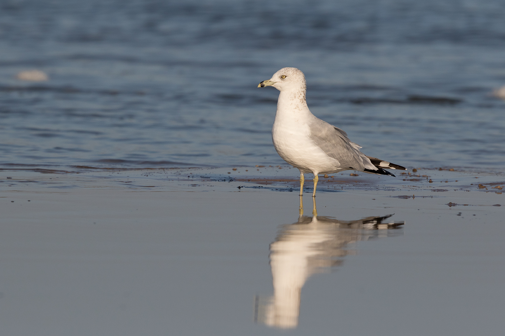 RING-BILLED GULL - ARANSAS COUNTY TX OCT. 2016