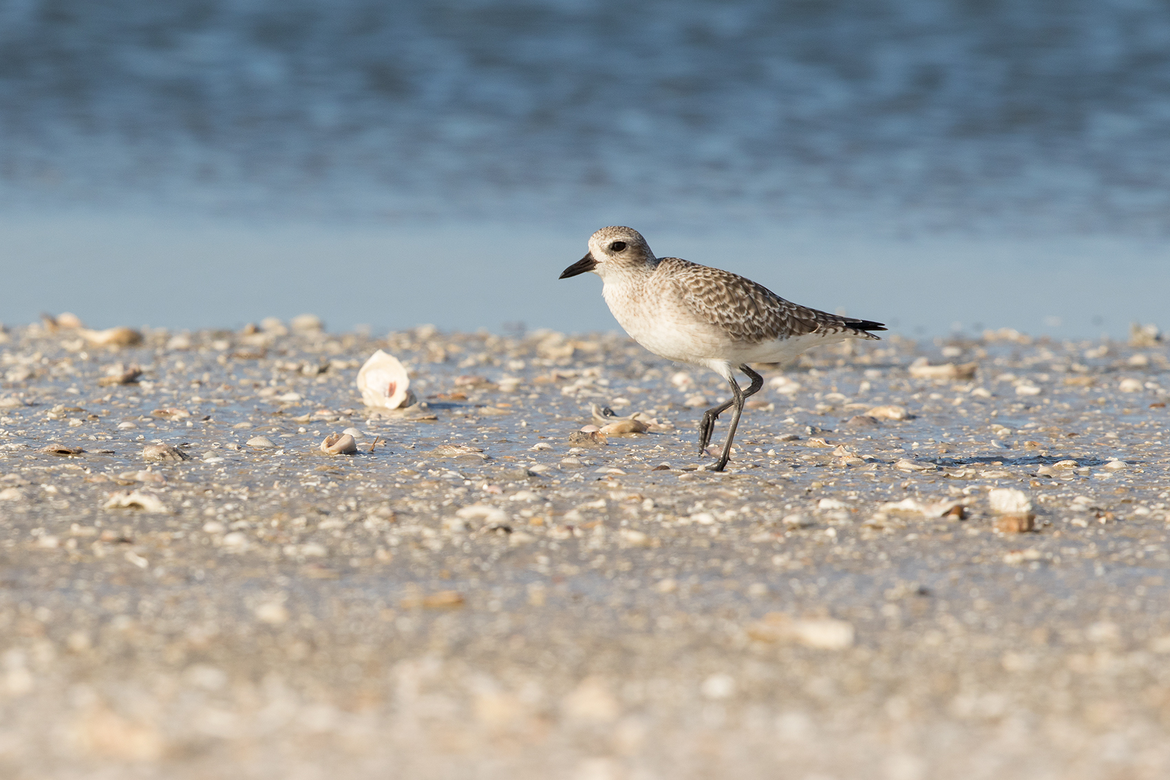 BLACK-BELLIED PLOVER - ARANSAS COUNTY TX OCT. 2016