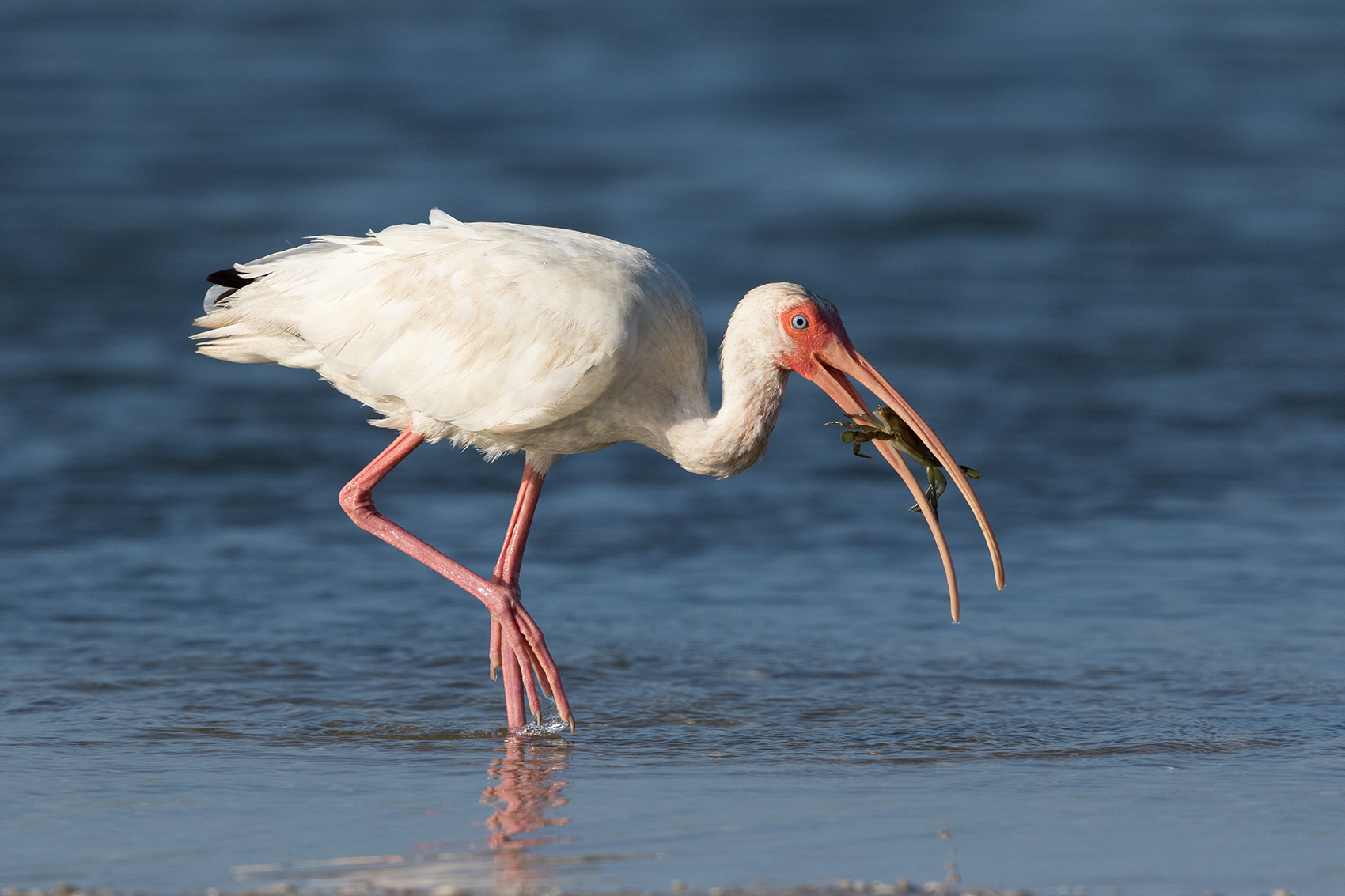WHITE IBIS - ARANSAS COUNTY TX OCT. 2016