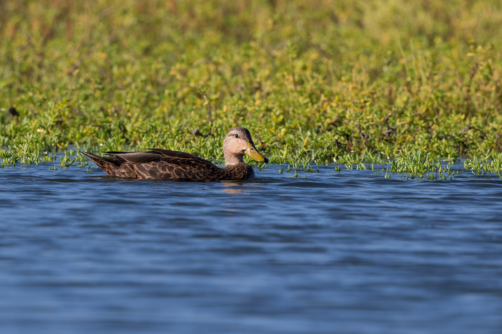 MOTTLED DUCK - ARANSAS COUNTY TX OCT. 2016