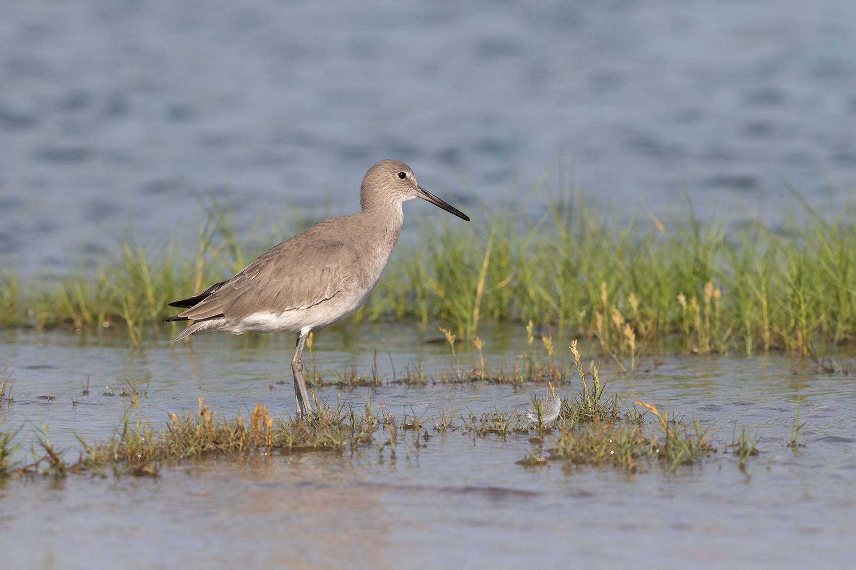 WILLET - ARANSAS COUNTY TX OCT. 2016