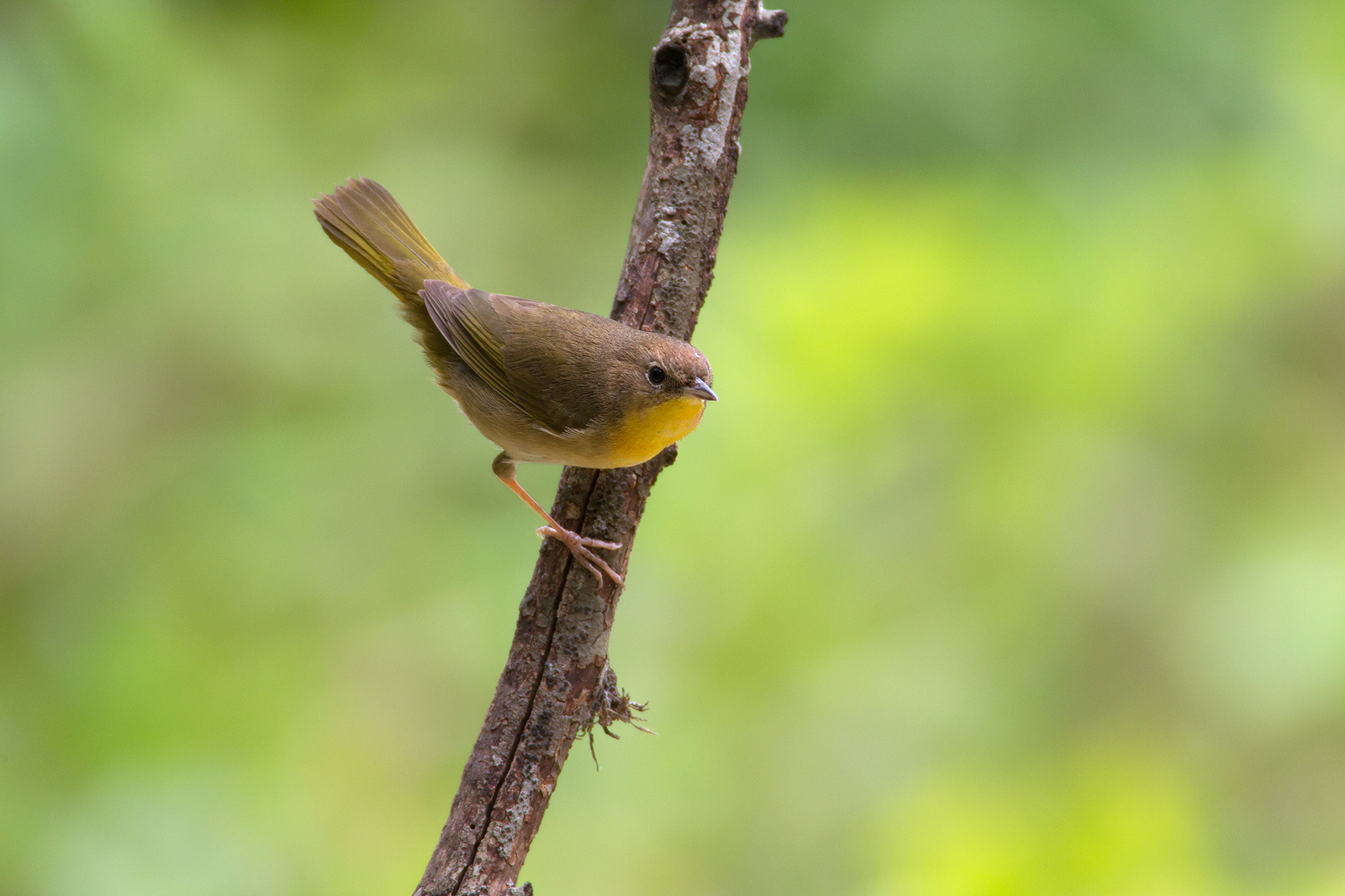 COMMON YELLOWTHROAT - GUADALUPE COUNTY TX