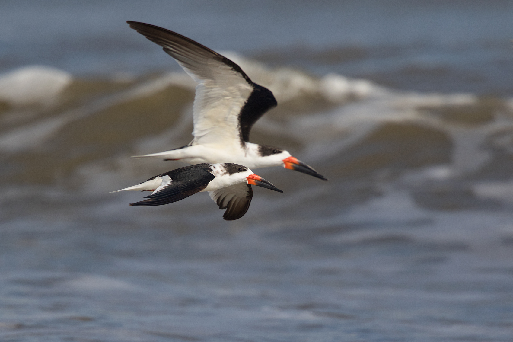 BLACK SKIMMER - GALVESTON COUNTY TX NOV. 2016