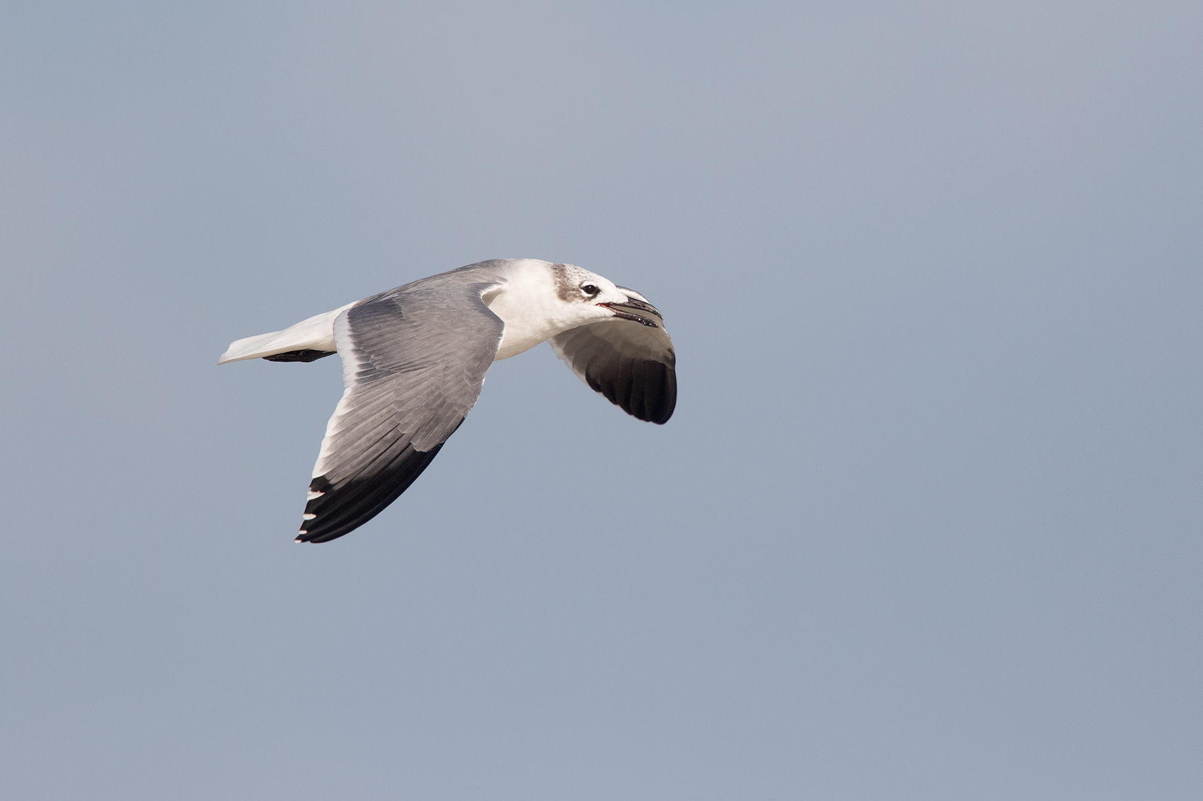 LAUGHING GULL - GALVESTON COUNTY TX NOV. 2016