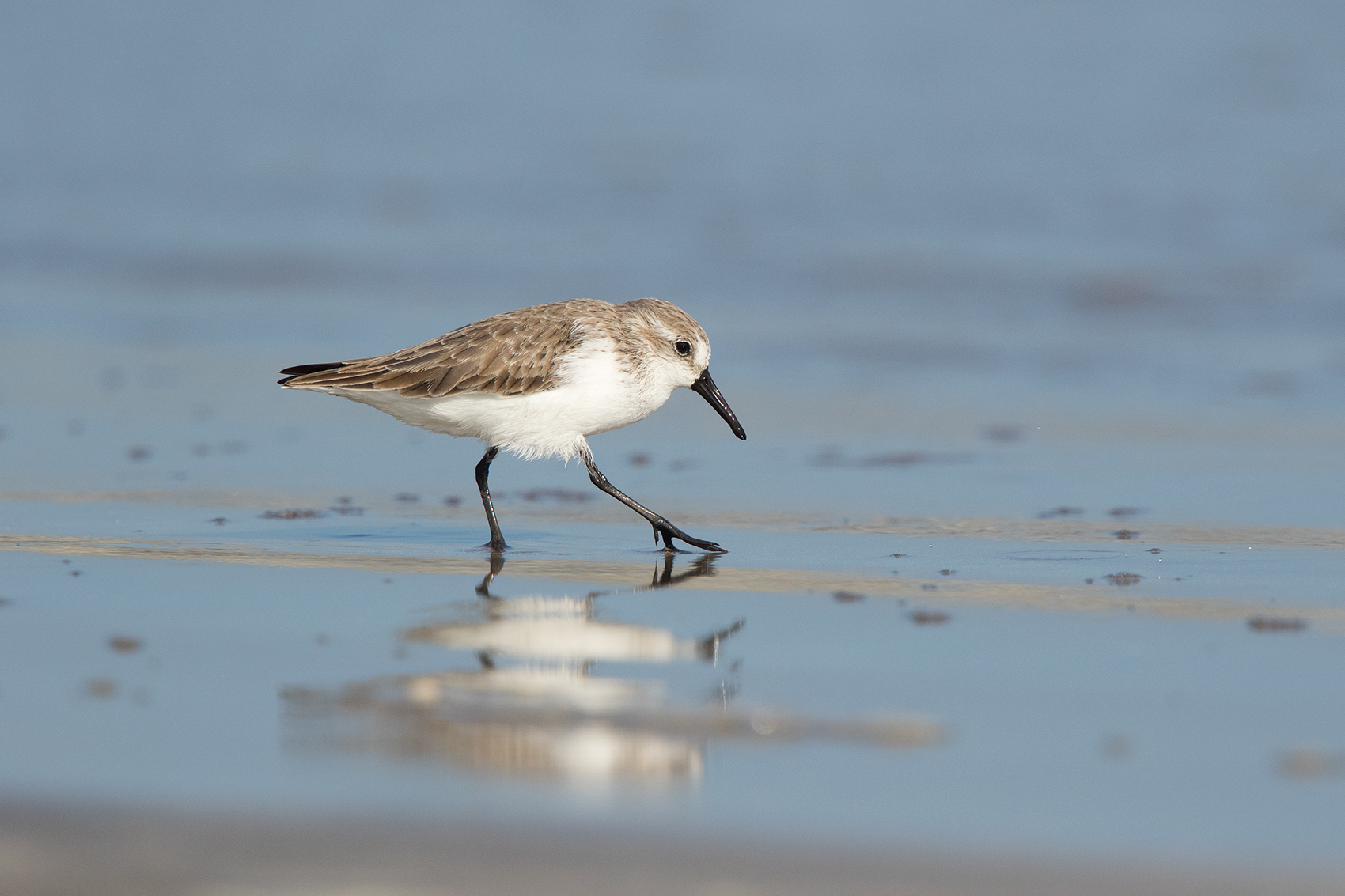 SANDERLING - GALVESTON COUNTY TX NOV. 2016