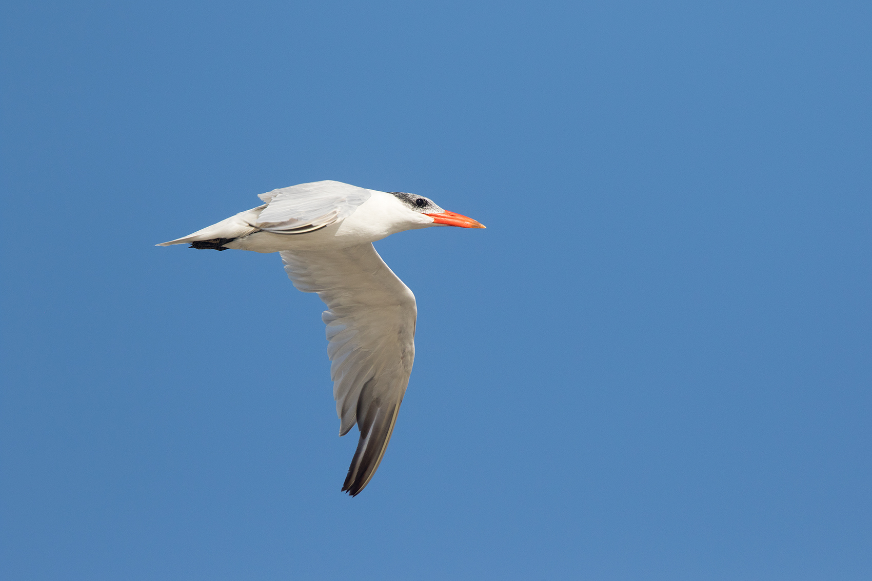 CASPIAN TERN - GALVESTON COUNTY TX NOV. 2016