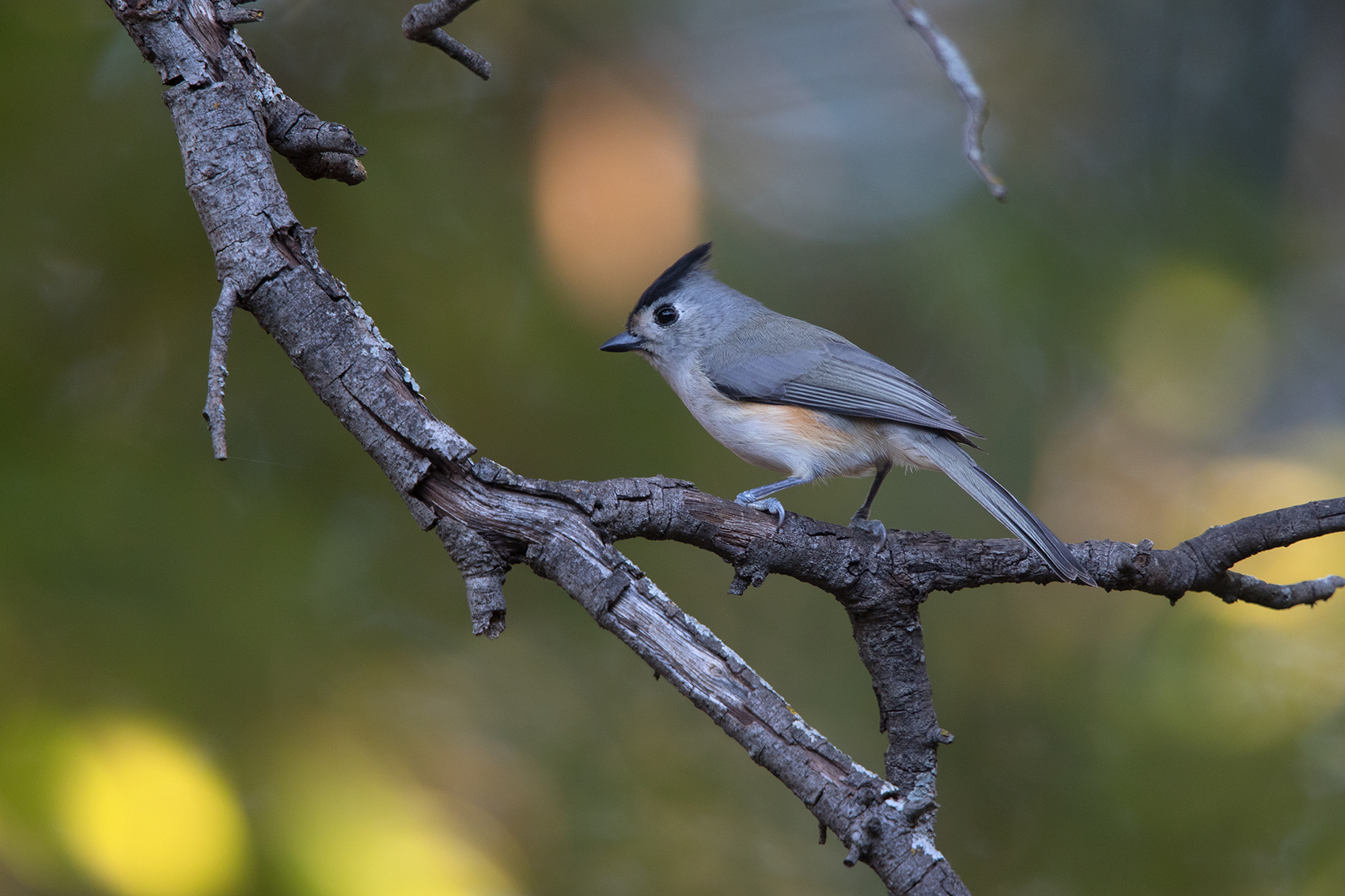 BLACK-CREASTED TITMOUSE - TAYLOR COUNTY TX NOV. 2016