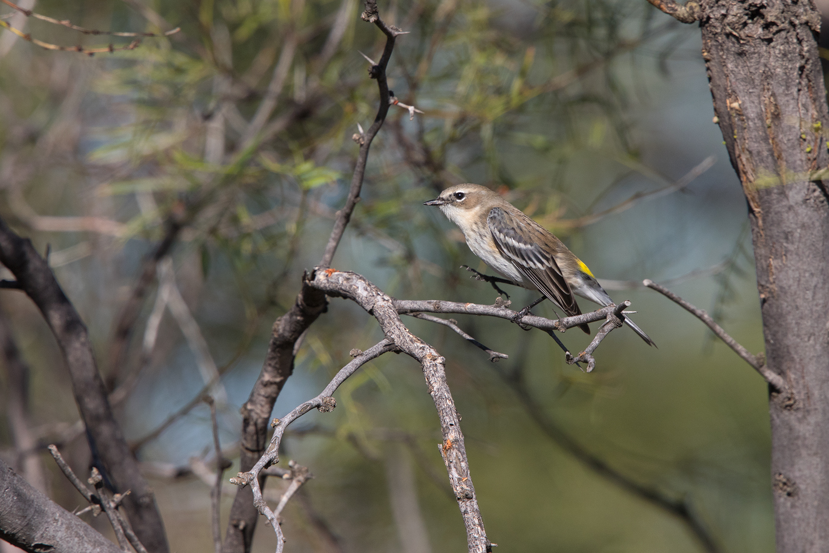YELLOW-RUMPED WARBLER - MITCHELL COUNTY TX NOV. 2016