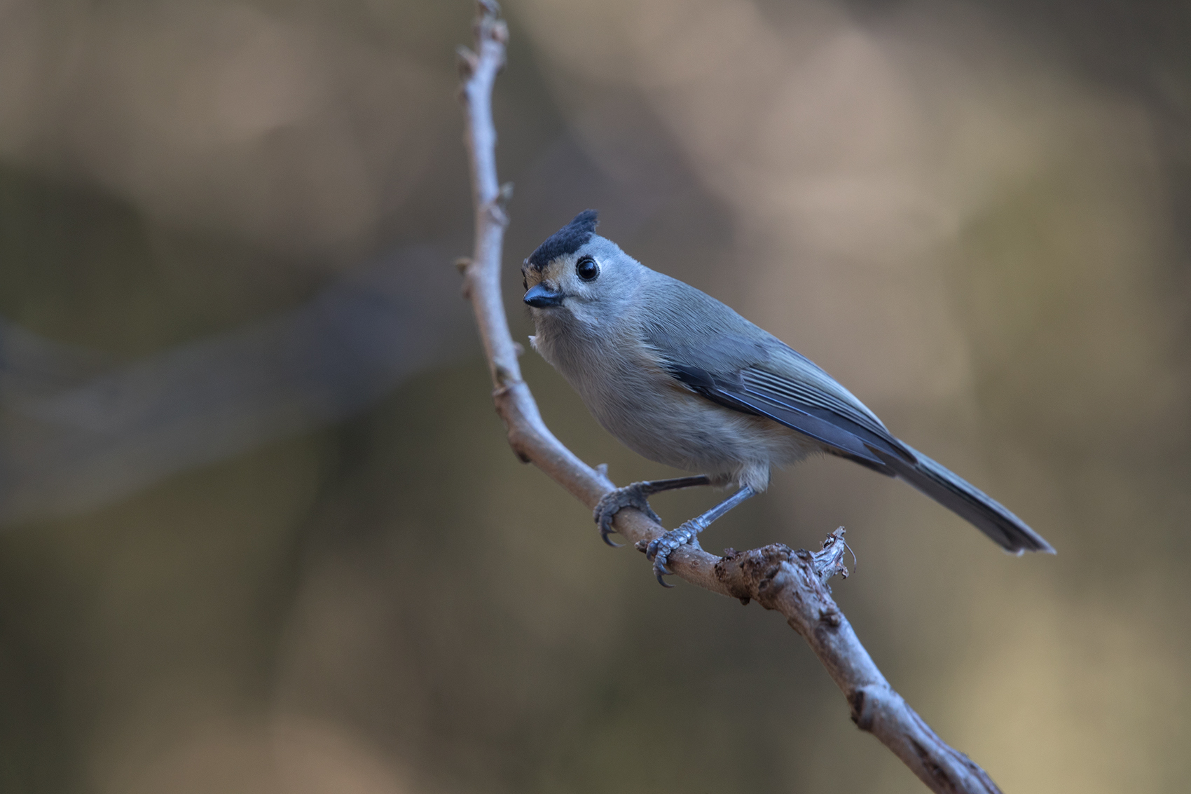 BLACK-CREASTED TITMOUSE - TAYLOR COUNTY TX DEC. 2016