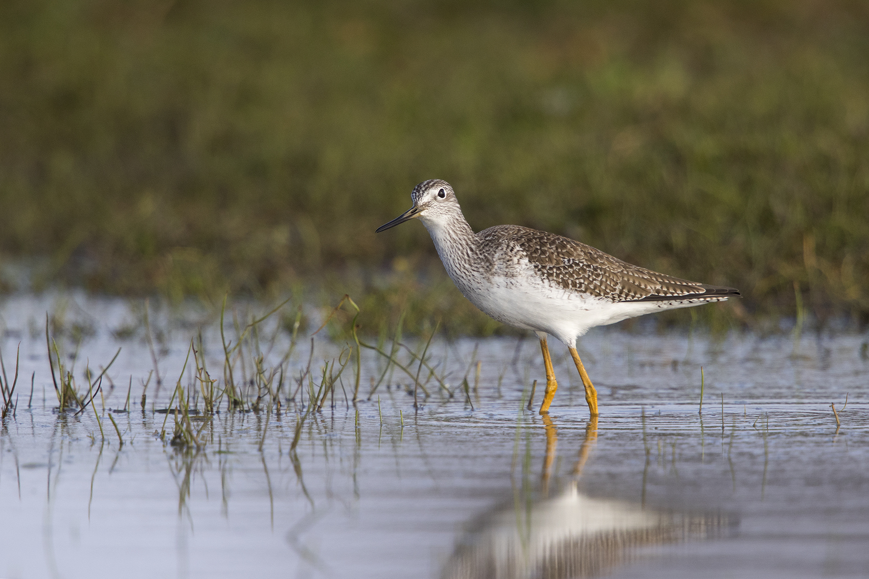GREATER YELLOWLEGS - GRAYSON COUNTY TX DEC. 2016