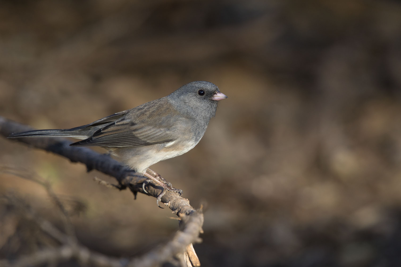 DARK-EYED JUNCO (SLATE-COLORED) - TAYLOR COUNTY TX DEC. 2016
