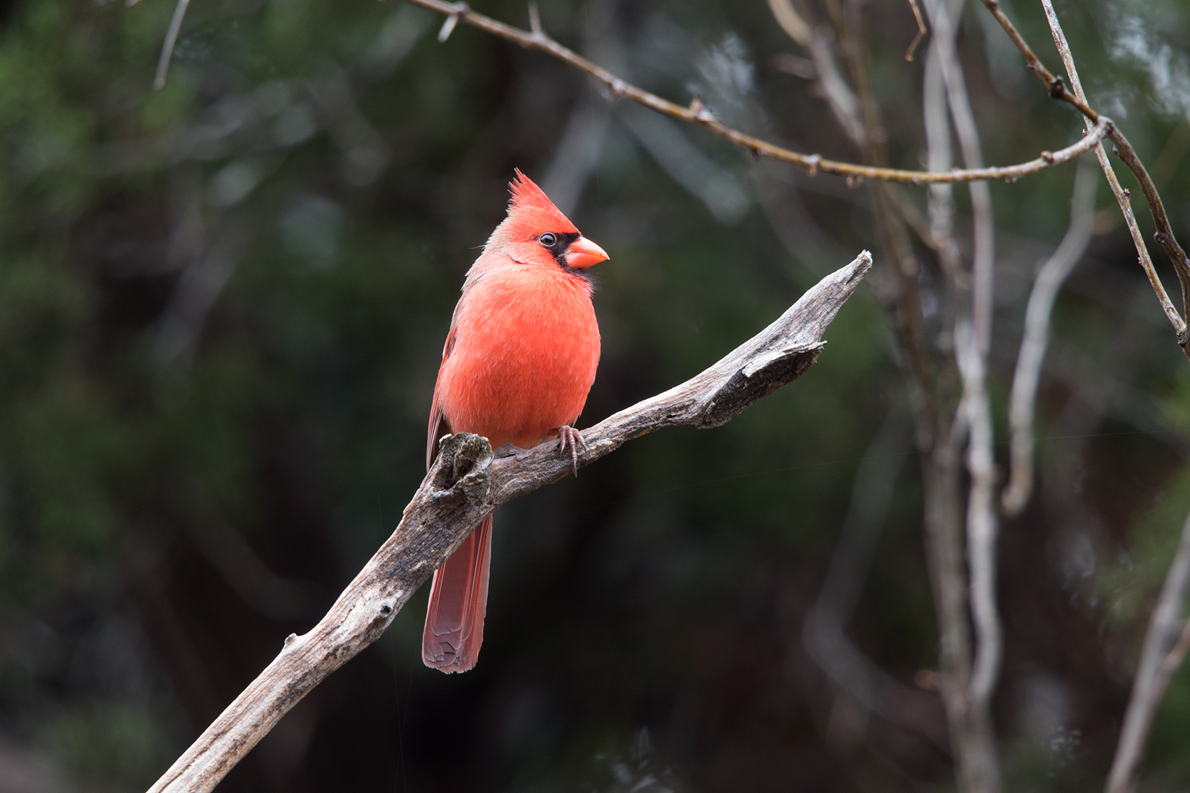 NORTHERN CARDINAL - TAYLOR COUNTY TX DEC. 2016
