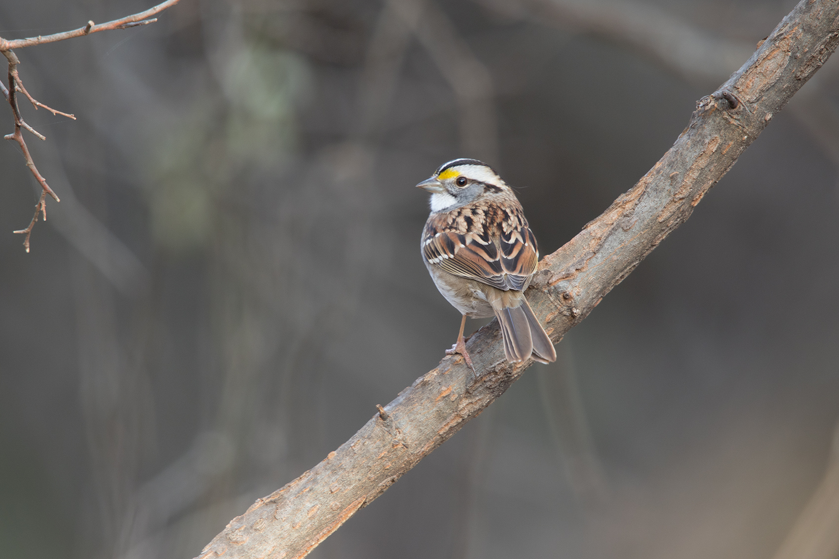 WHITE-THROATED SPARROW - TAYLOR COUNTY TX DEC. 2016